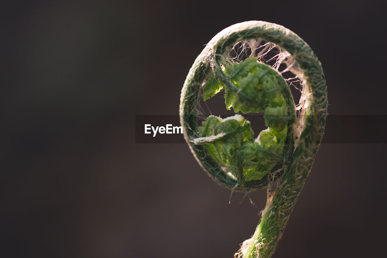 plant, close-up, no people, growth, nature, green color, beauty in nature, copy space, focus on foreground, leaf, plant part, studio shot, tranquility, fern, outdoors, day, selective focus, beginnings, sphere, black background