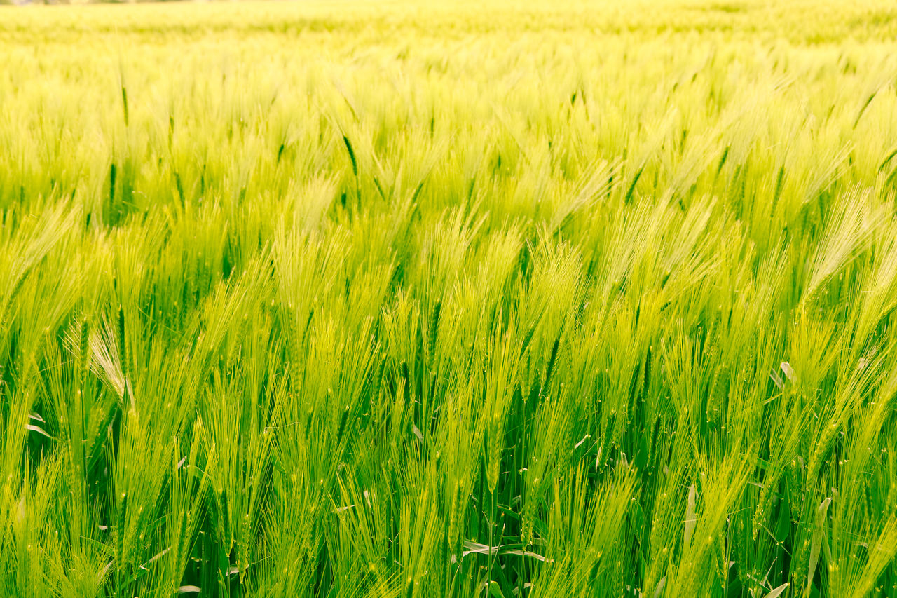 agriculture, field, cereal plant, rural scene, green color, land, plant, crop, landscape, growth, farm, nature, beauty in nature, wheat, barley, environment, full frame, backgrounds, grass, no people, wind