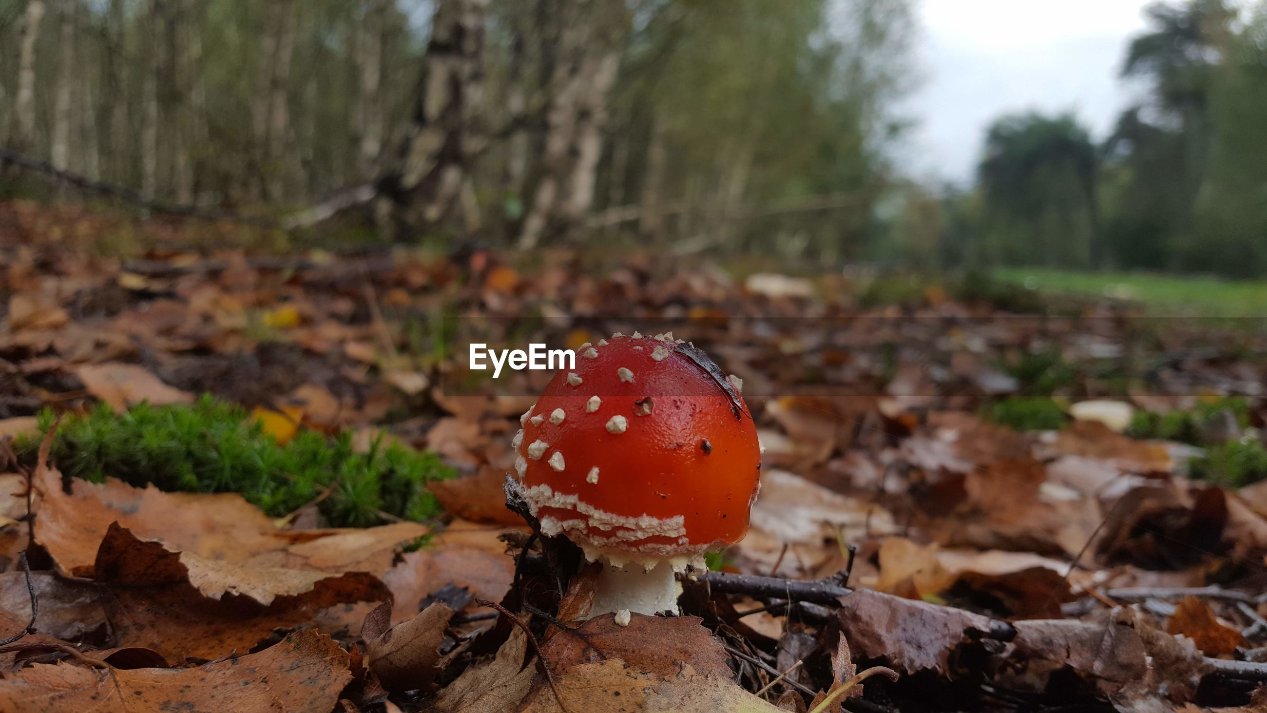 CLOSE-UP OF FLY AGARIC MUSHROOM