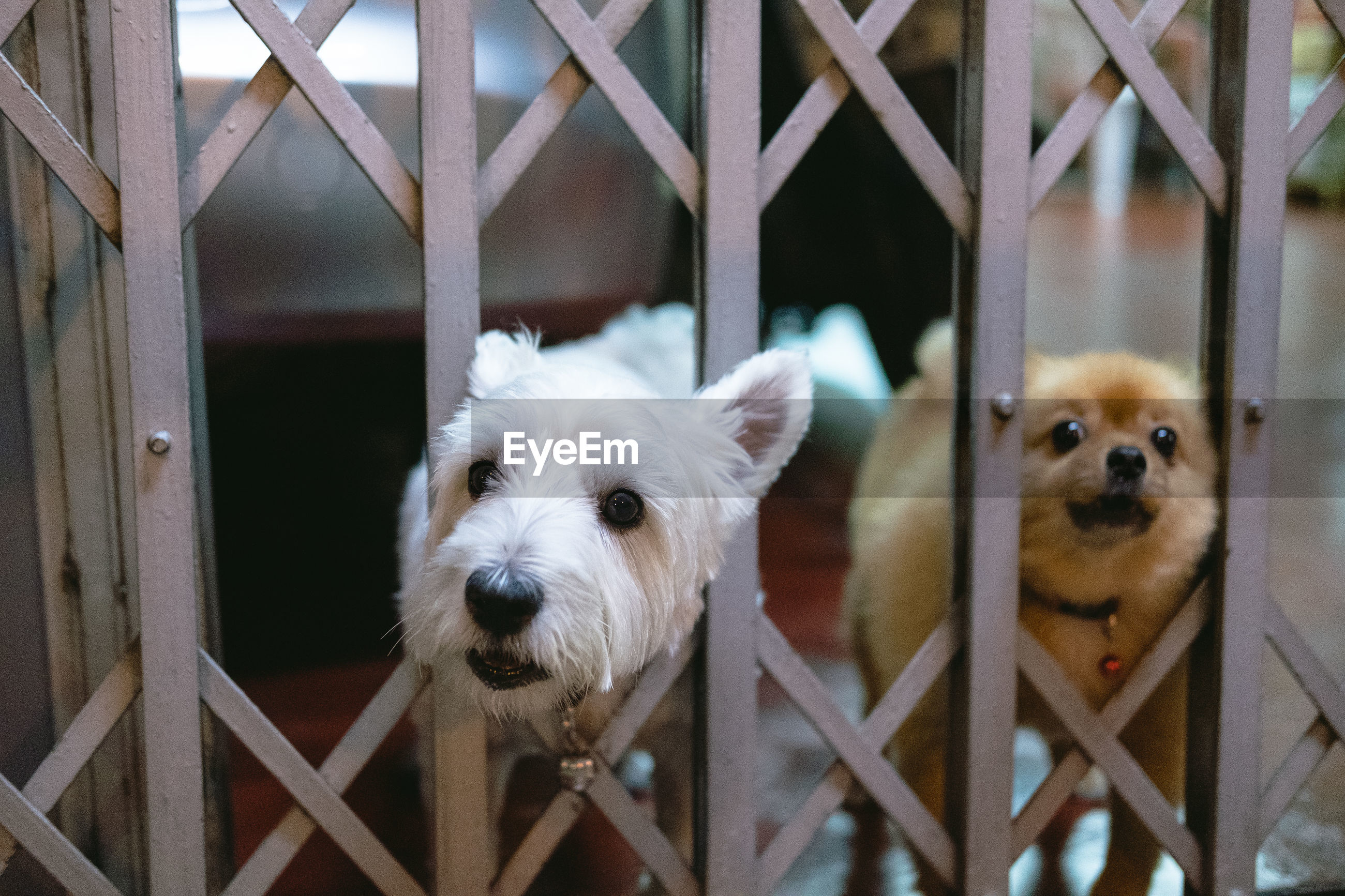 Portrait of dogs through metal fence