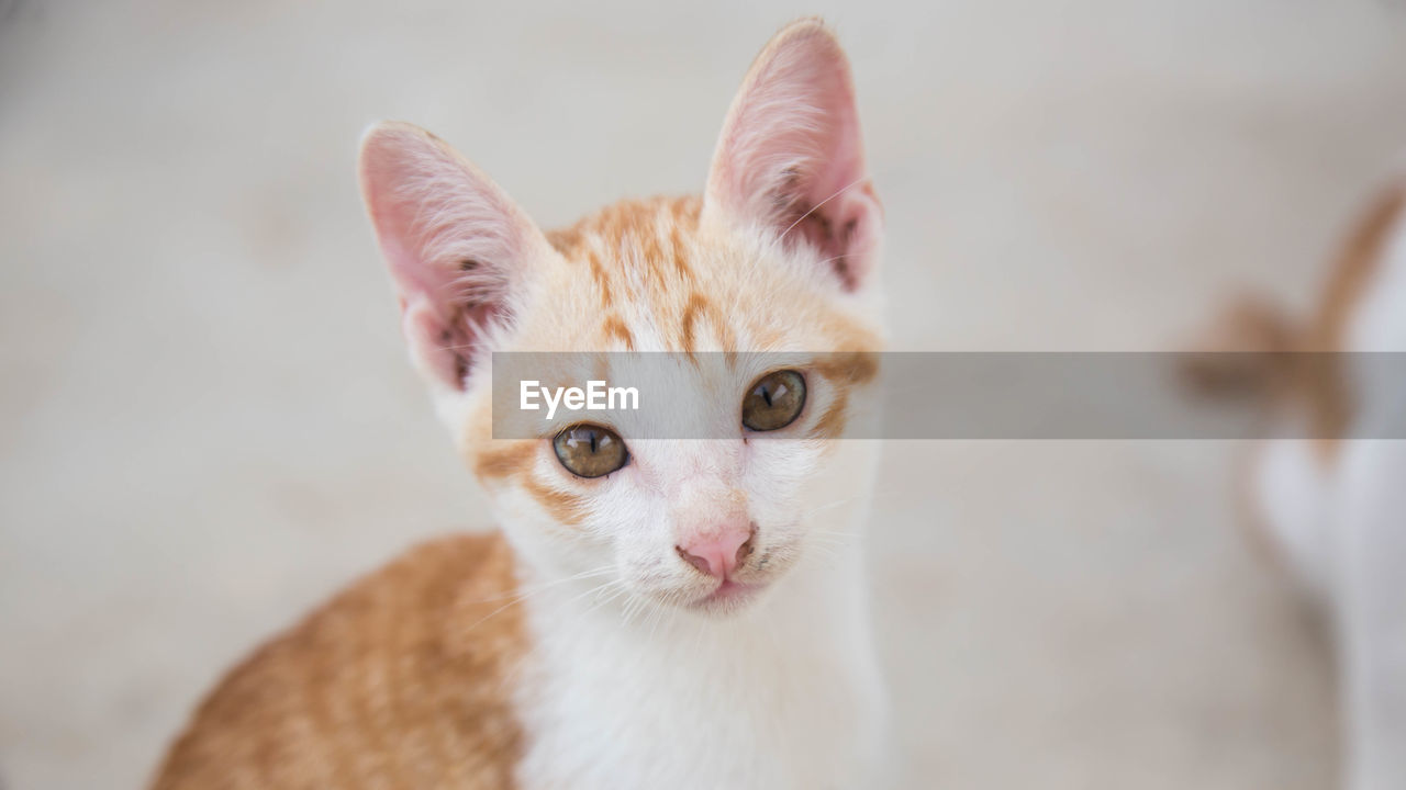cat, pets, domestic cat, domestic, domestic animals, feline, mammal, one animal, portrait, looking at camera, vertebrate, focus on foreground, no people, whisker, indoors, close-up, animal body part, ginger cat, animal eye