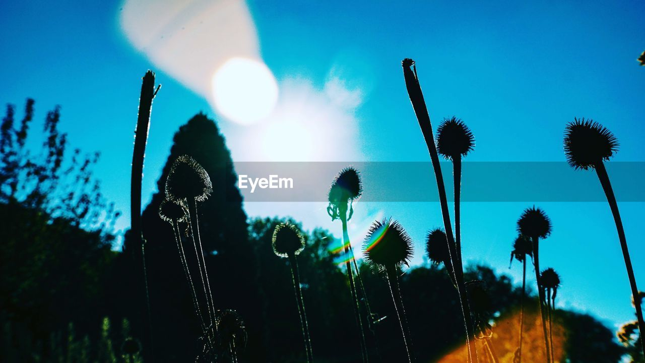 sky, growth, plant, nature, low angle view, beauty in nature, sunlight, no people, sun, tranquility, lens flare, day, plant stem, sunbeam, close-up, outdoors, silhouette, fragility, flower, cattail, stalk