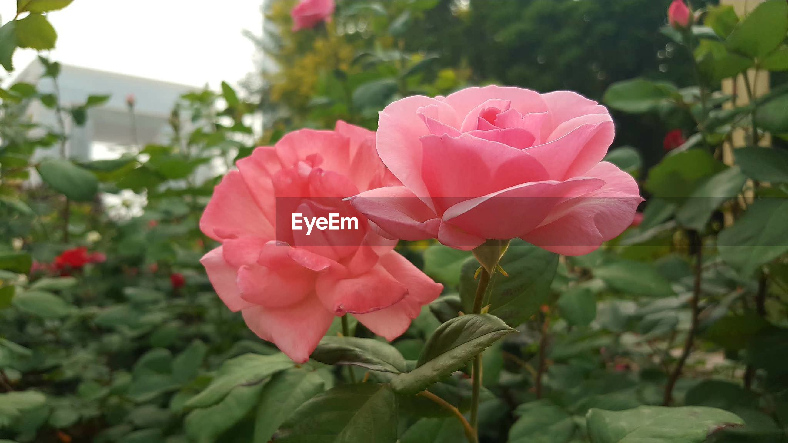 flower, petal, pink color, growth, fragility, nature, beauty in nature, plant, blooming, freshness, flower head, no people, focus on foreground, day, outdoors, close-up, leaf, periwinkle