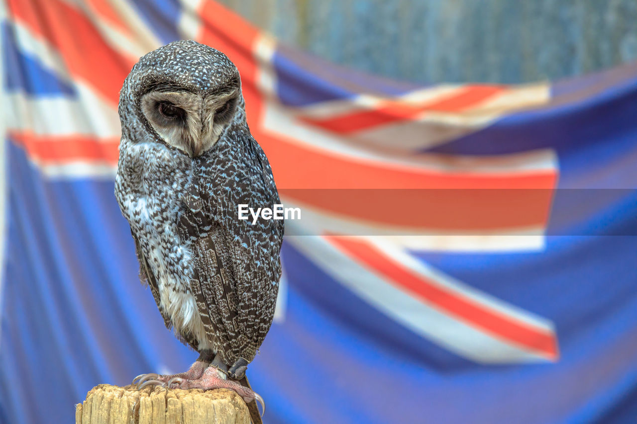 one animal, animal themes, bird, focus on foreground, flag, animal, animal wildlife, vertebrate, patriotism, animals in the wild, bird of prey, blue, close-up, no people, striped, day, outdoors, national icon, eagle