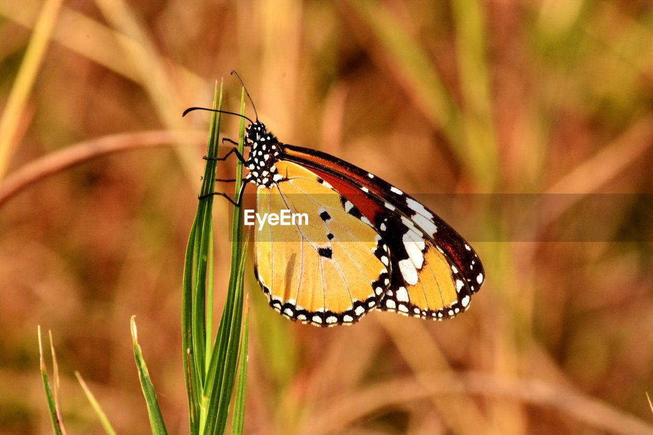 insect, butterfly - insect, one animal, animal themes, animals in the wild, focus on foreground, close-up, nature, no people, butterfly, outdoors, day, plant, animal wildlife, beauty in nature, fragility, perching