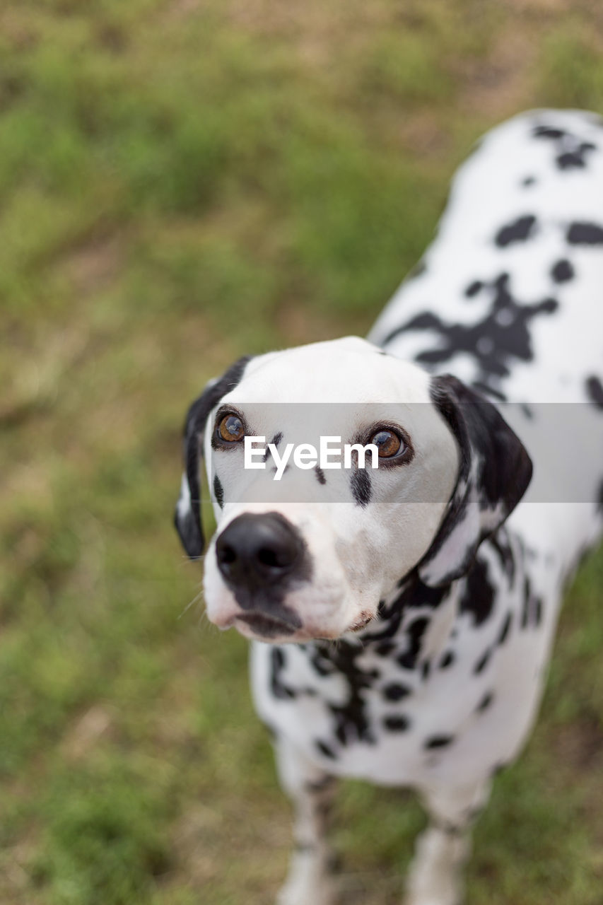High Angle View Of Dalmatian Dog Standing On Field