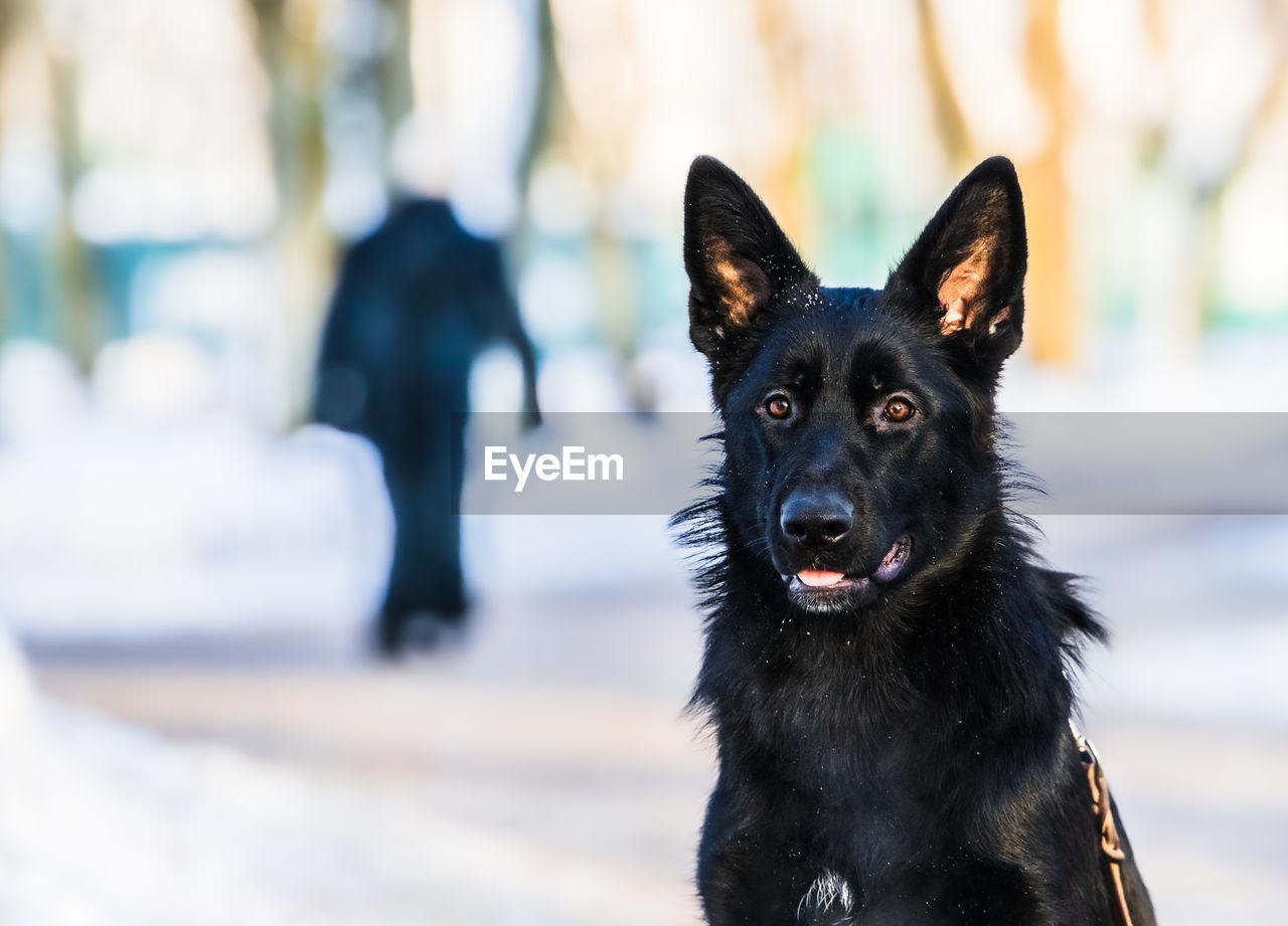 Portrait of black dog against blurred background