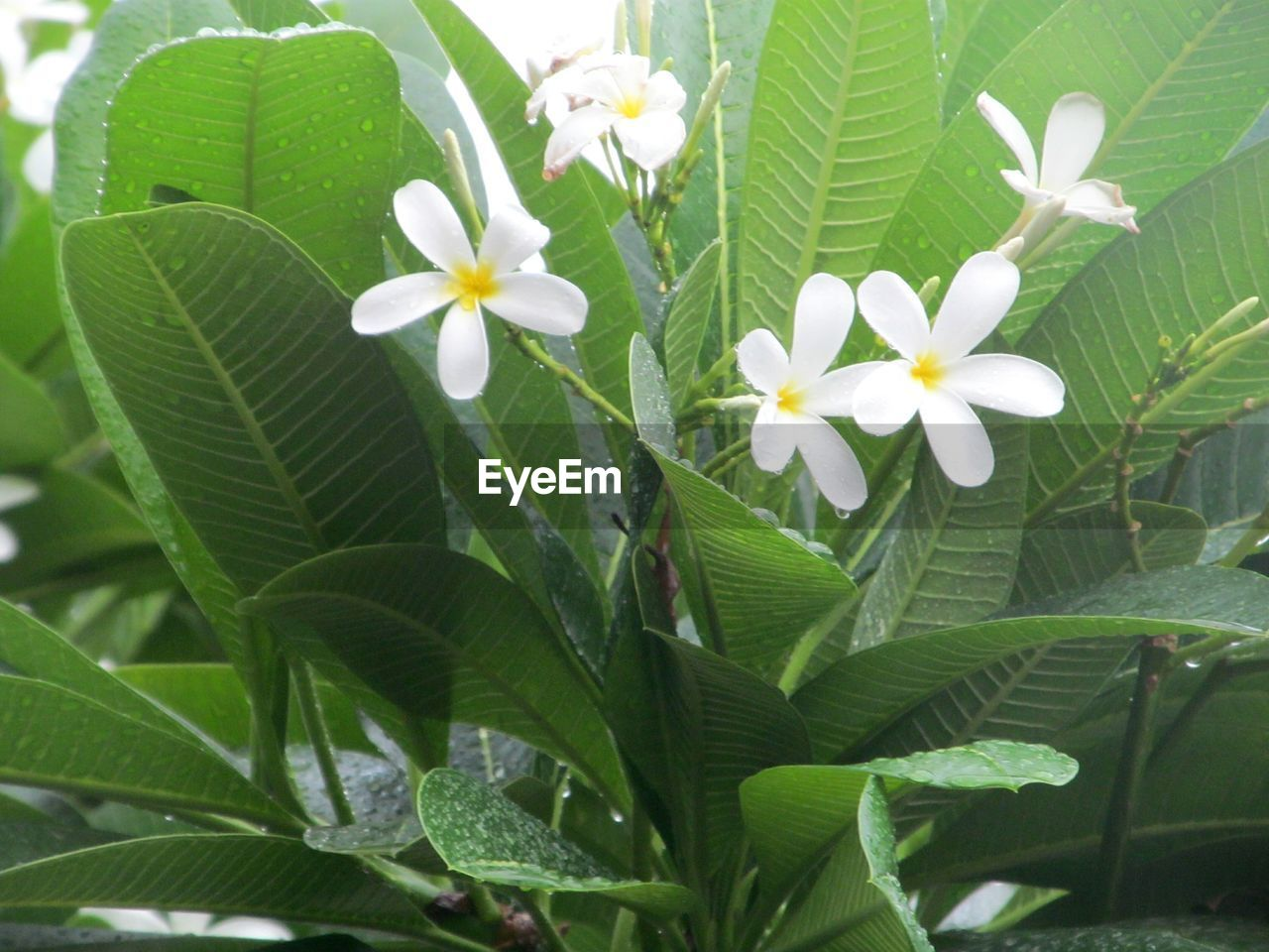 flower, leaf, growth, freshness, green color, fragility, nature, beauty in nature, plant, petal, flower head, day, outdoors, blooming, no people, close-up, periwinkle, frangipani