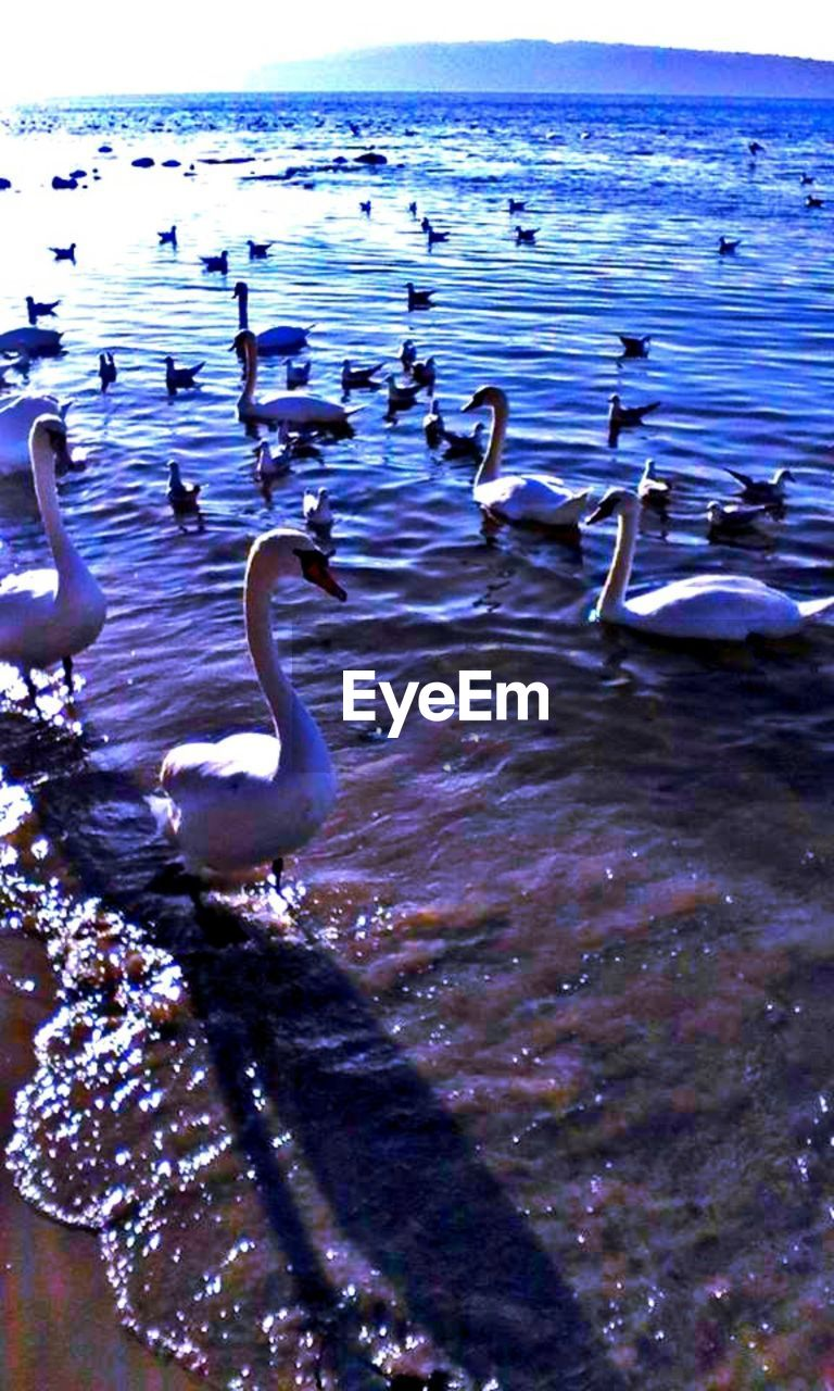 water, bird, animal wildlife, animals in the wild, animal themes, vertebrate, animal, group of animals, beauty in nature, nature, sea, no people, large group of animals, day, swan, tranquility, swimming, tranquil scene, outdoors, flock of birds, floating on water, animal neck