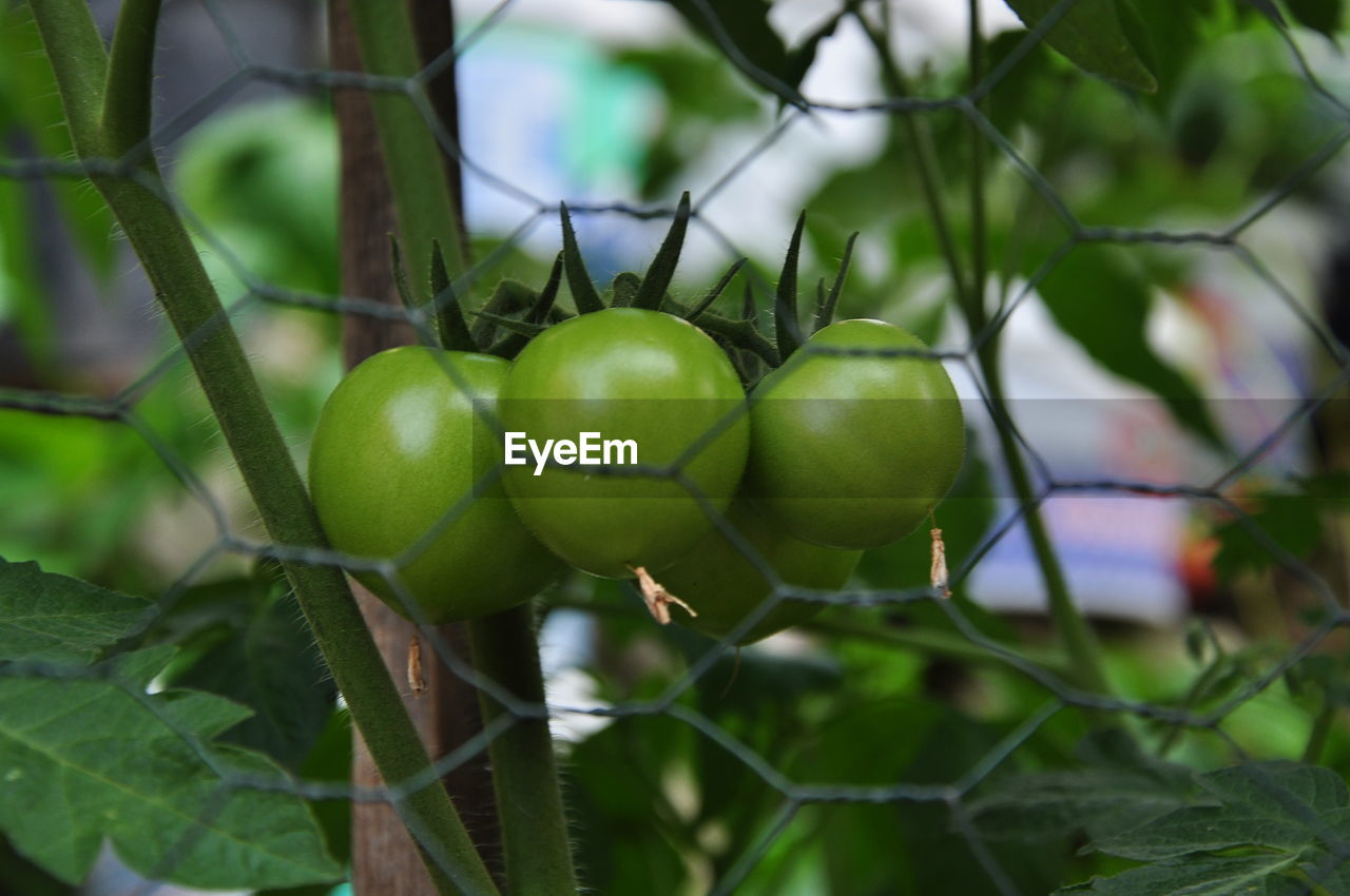 fruit, healthy eating, food, food and drink, growth, plant, wellbeing, green color, freshness, close-up, focus on foreground, no people, nature, day, tree, leaf, plant part, beauty in nature, outdoors, branch