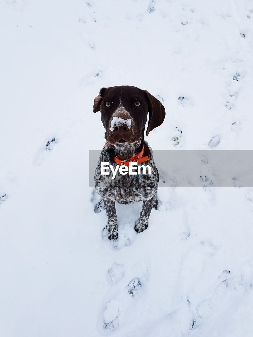 Dog in snow with snow on nose