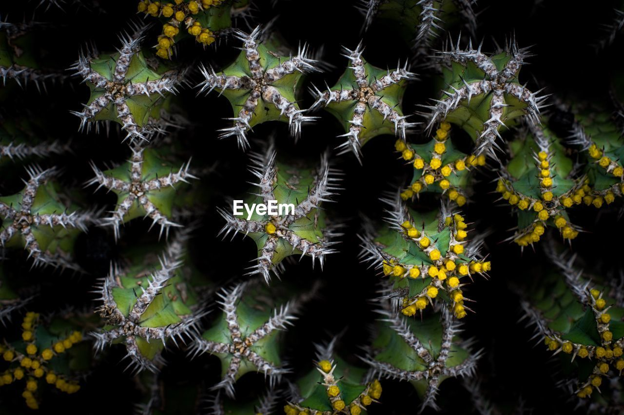 plant, beauty in nature, fragility, growth, vulnerability, no people, nature, close-up, full frame, backgrounds, flower, flowering plant, day, pattern, freshness, spiked, outdoors, flower head, natural pattern, succulent plant