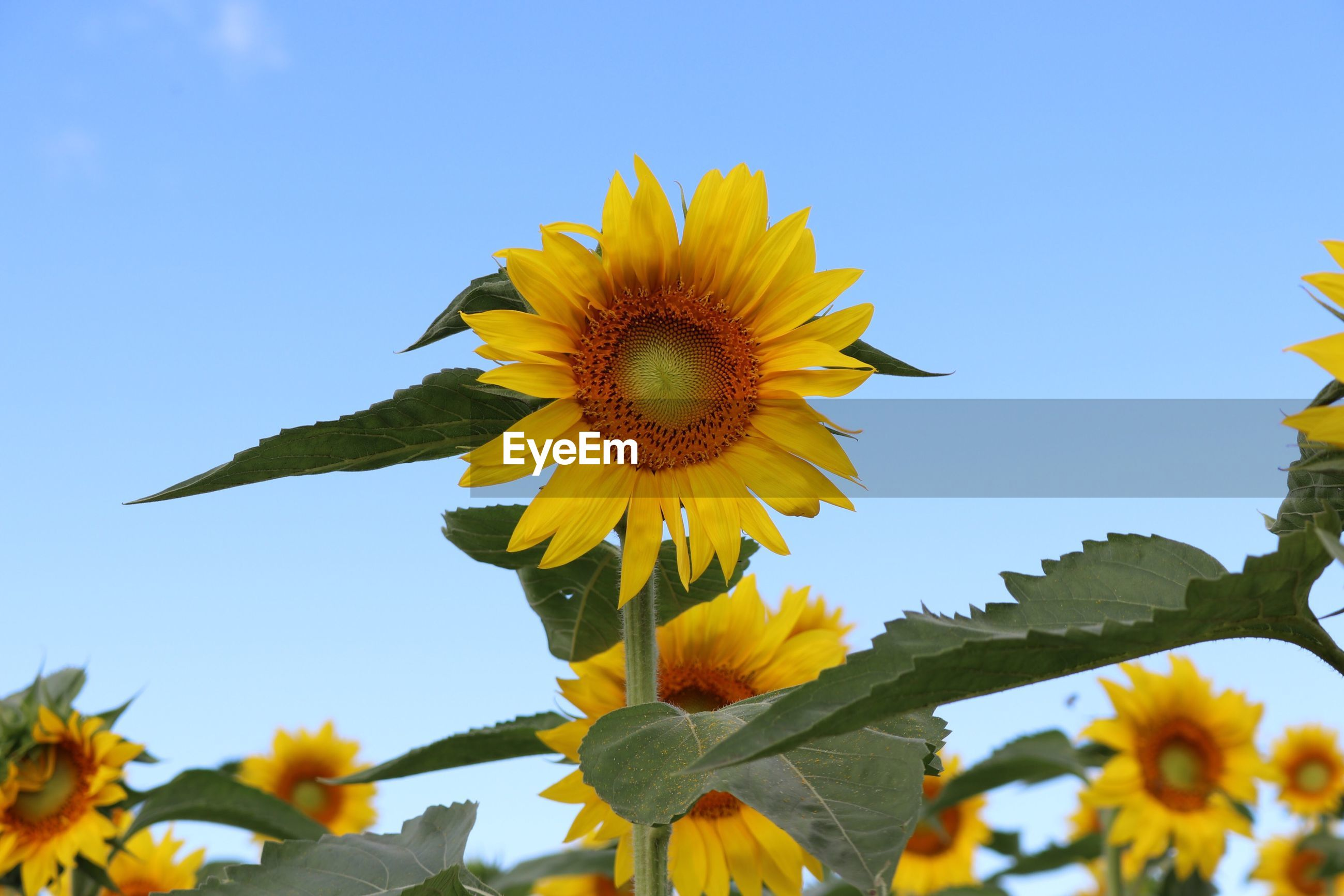 LOW ANGLE VIEW OF SUNFLOWERS BLOOMING IN PARK AGAINST SKY