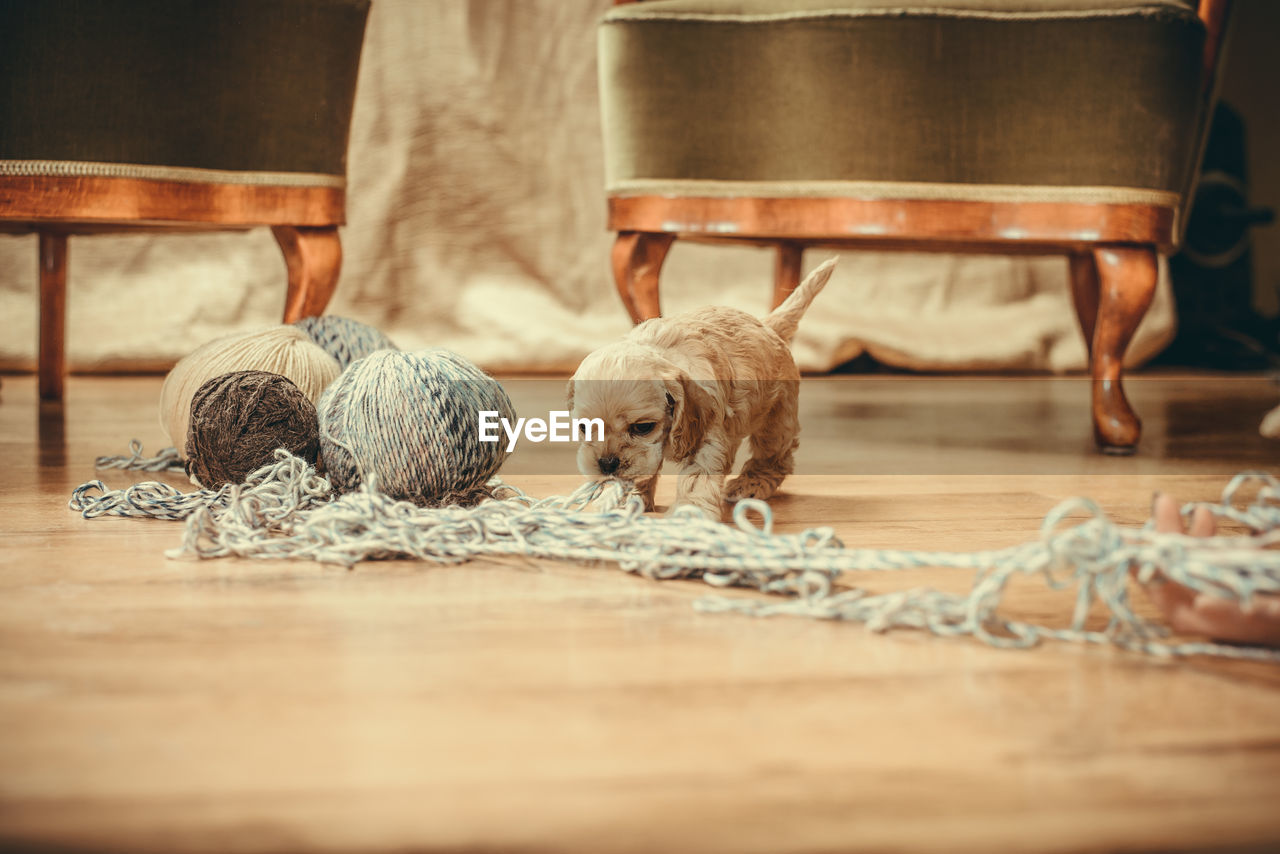 dog, pets, domestic, mammal, canine, domestic animals, one animal, flooring, indoors, relaxation, wood, wood - material, home interior, people, vertebrate, hardwood floor, selective focus, table, surface level