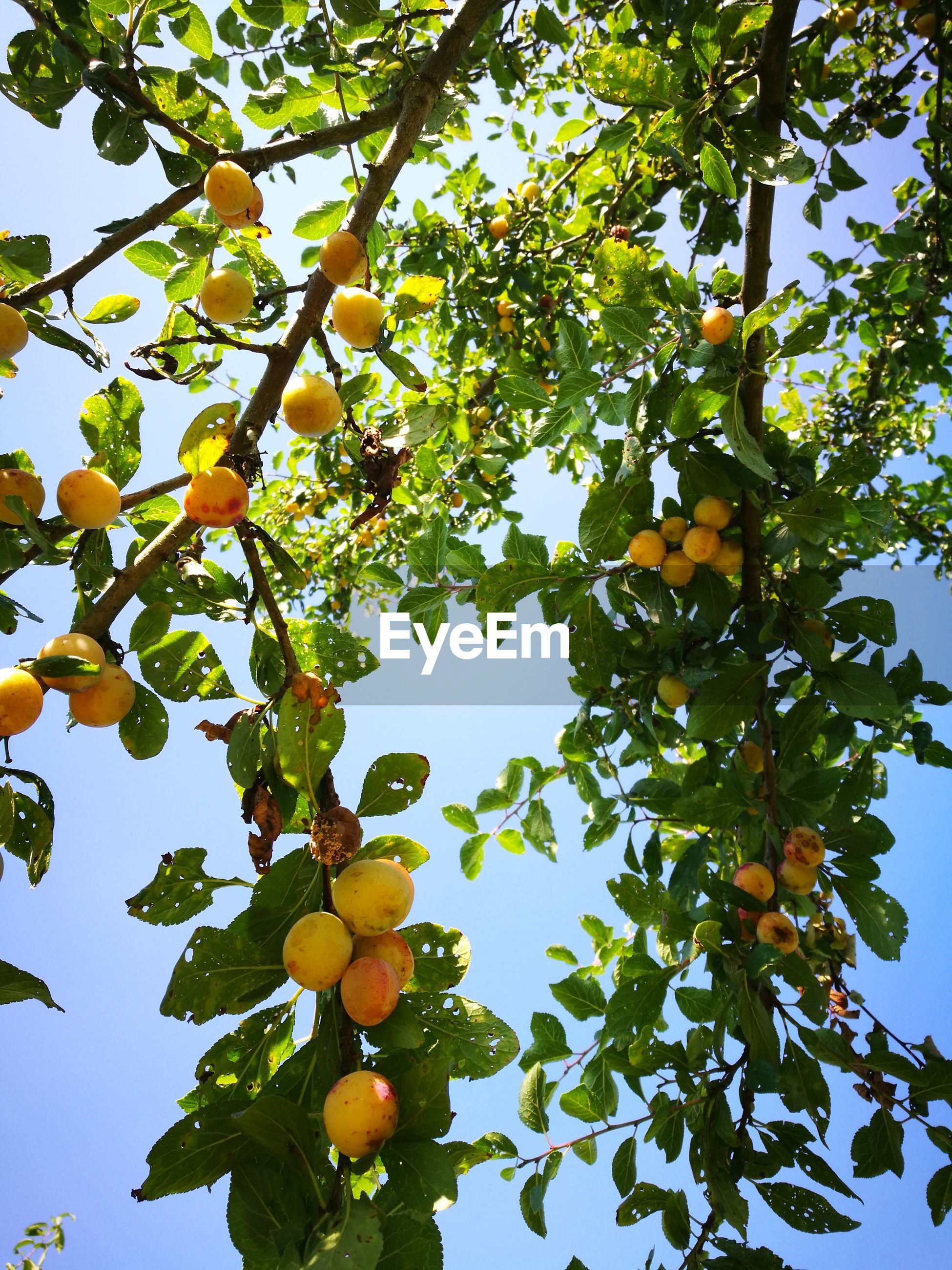 Low angle view of mirabelle plums growing on tree
