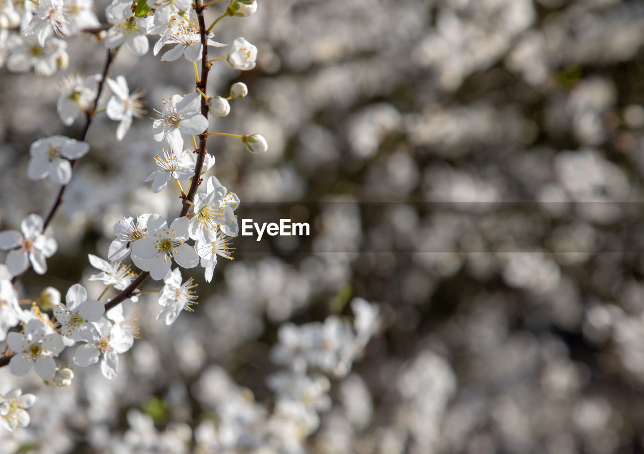flower, flowering plant, plant, growth, freshness, fragility, vulnerability, beauty in nature, white color, tree, no people, day, springtime, close-up, nature, blossom, branch, focus on foreground, selective focus, petal, outdoors, cherry blossom, flower head, cherry tree