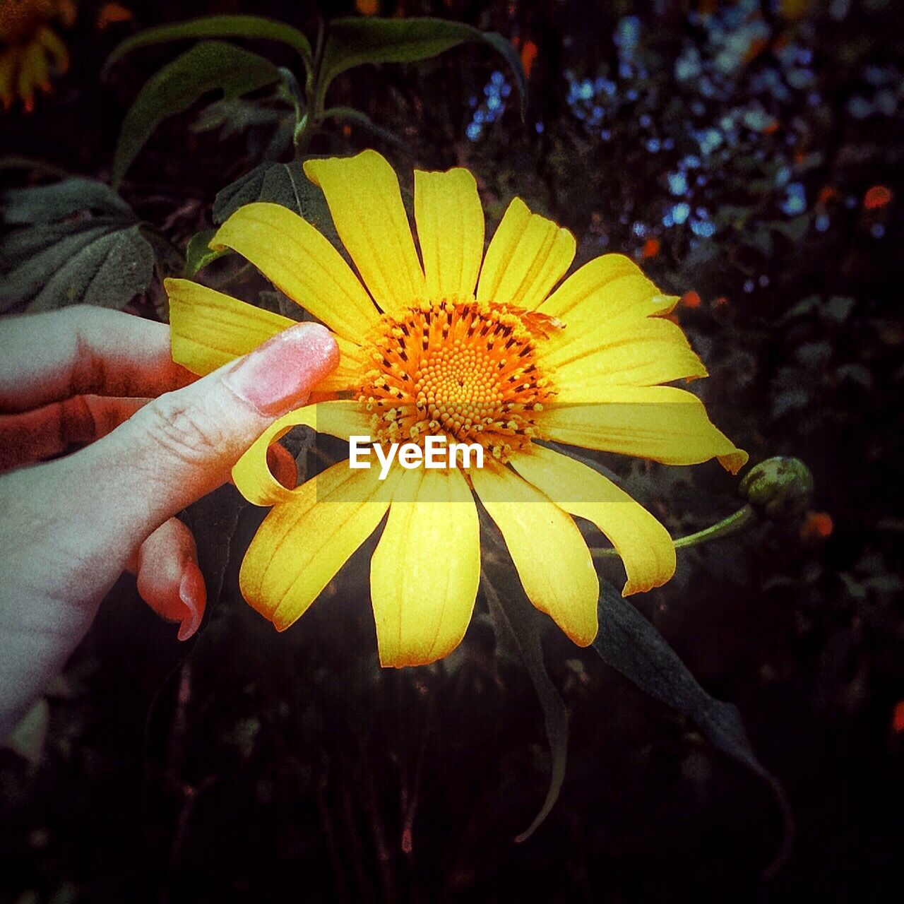 CLOSE-UP OF HAND HOLDING YELLOW FLOWER IN BLOOM