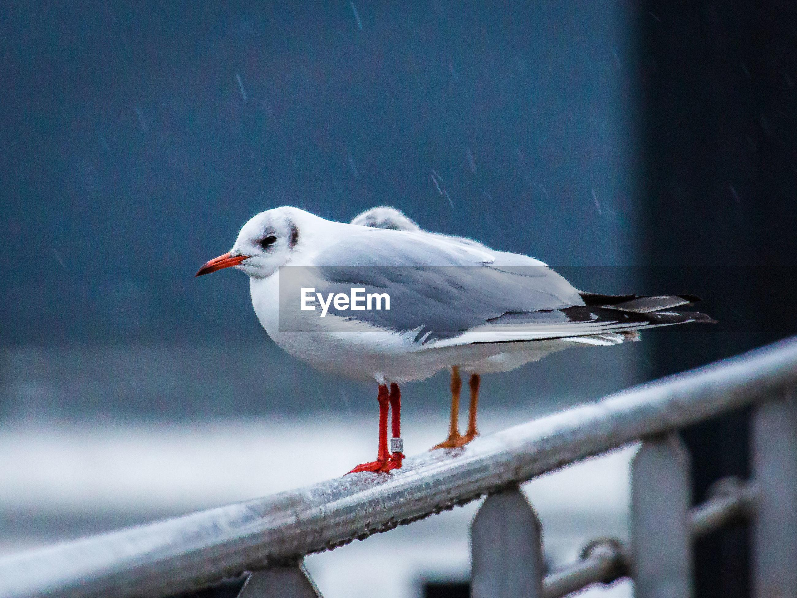 Seagulls on railing during rainy season