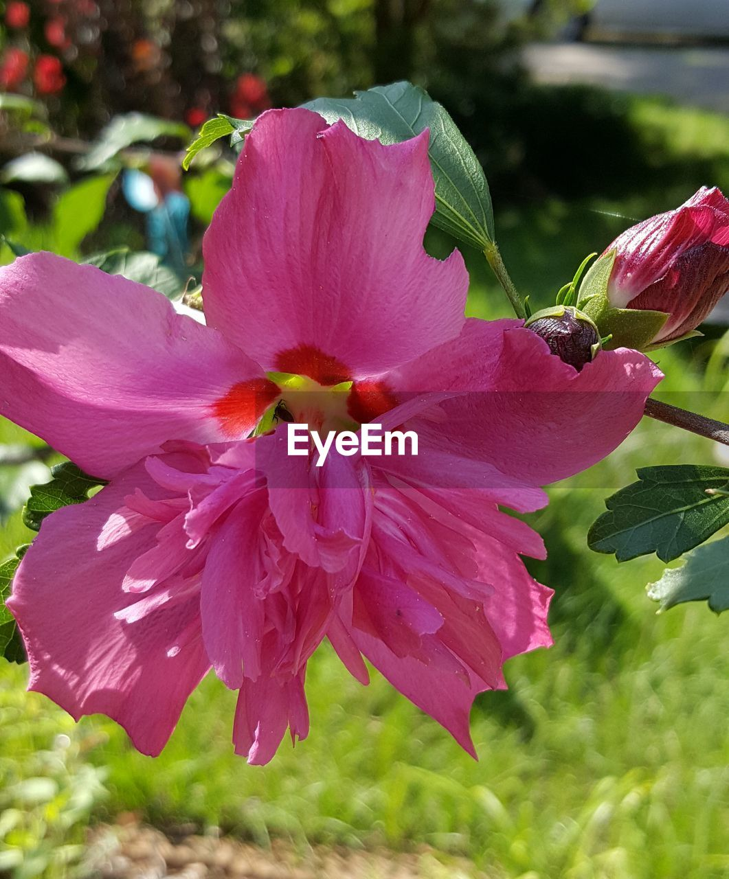 flower, flowering plant, petal, beauty in nature, fragility, vulnerability, plant, freshness, pink color, inflorescence, close-up, flower head, growth, nature, focus on foreground, day, no people, botany, pollen, outdoors