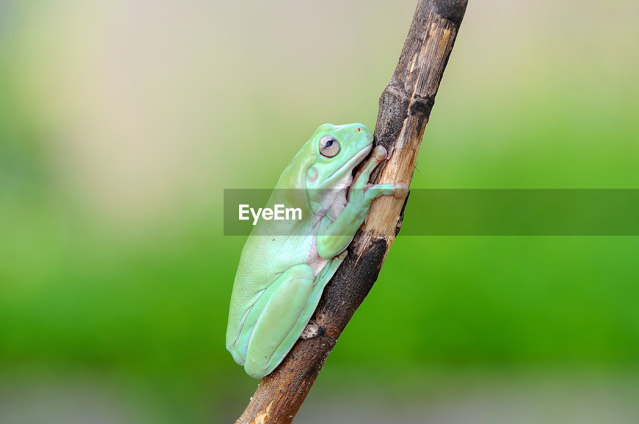 animal, animals in the wild, vertebrate, animal themes, animal wildlife, one animal, green color, reptile, focus on foreground, plant, close-up, no people, day, nature, tree, lizard, branch, outdoors, frog, amphibian, animal scale