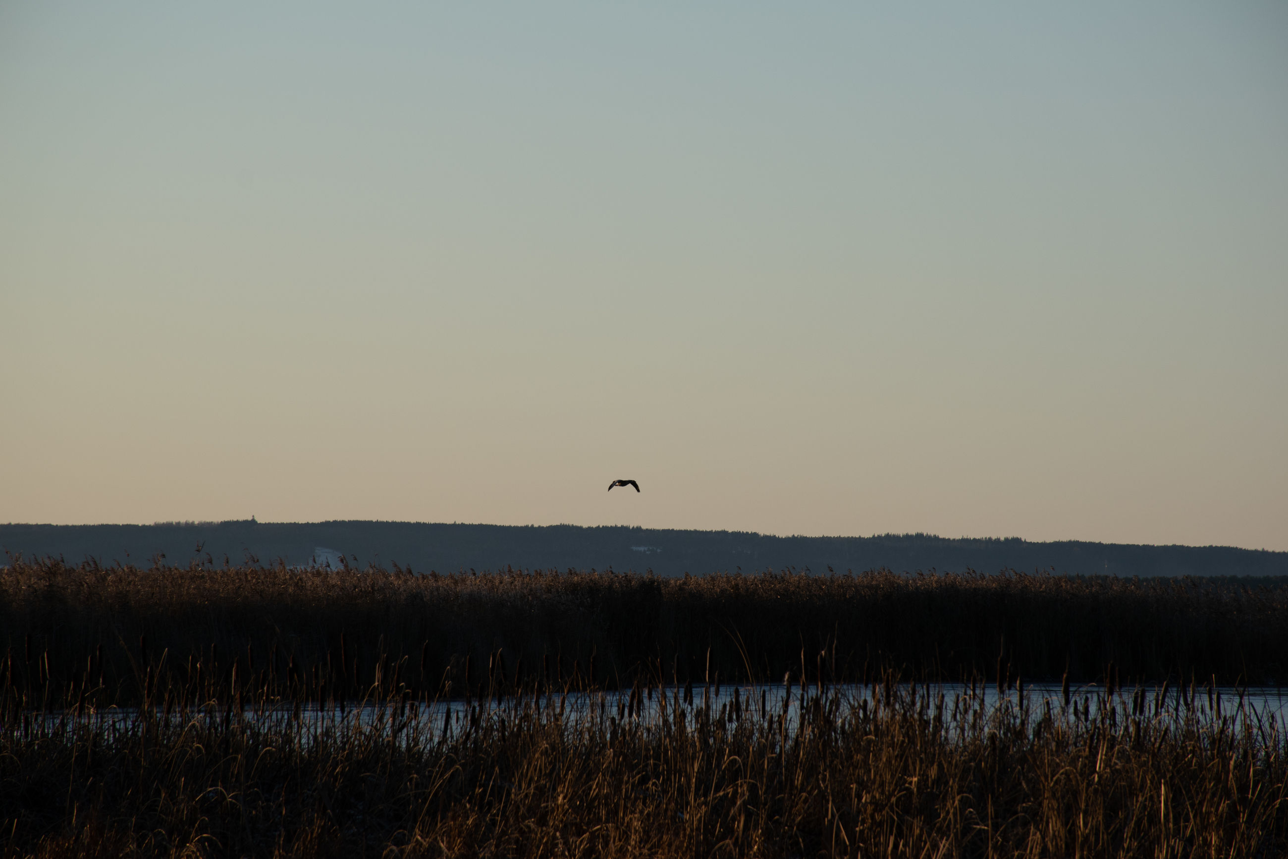 Bird flying over lake against clear sky during sunset