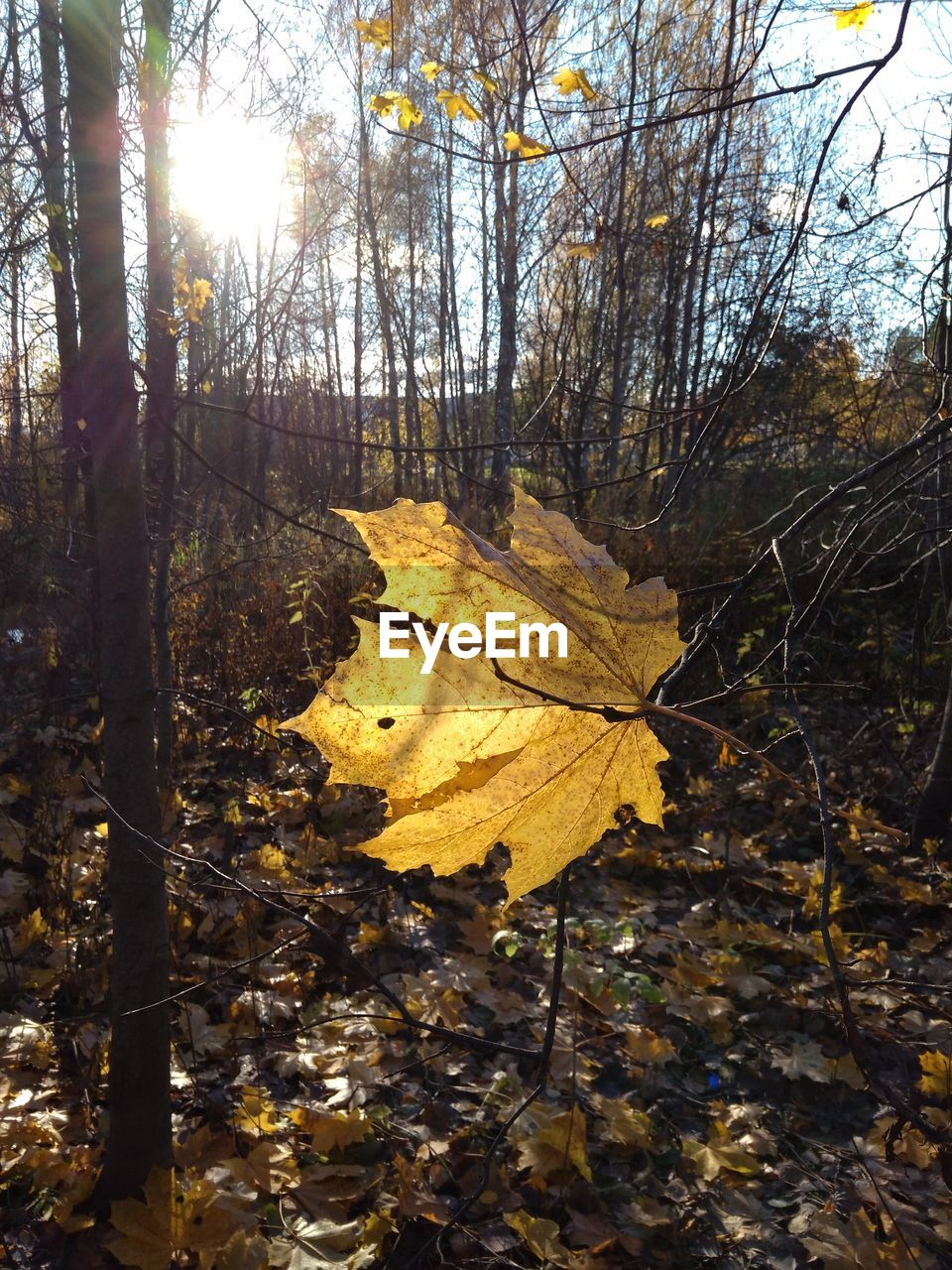 tree, plant, plant part, nature, leaf, sunlight, autumn, change, tranquility, no people, day, sky, land, yellow, forest, falling, dry, tree trunk, sunbeam, growth, outdoors, sun, lens flare, woodland, leaves, bright, fall