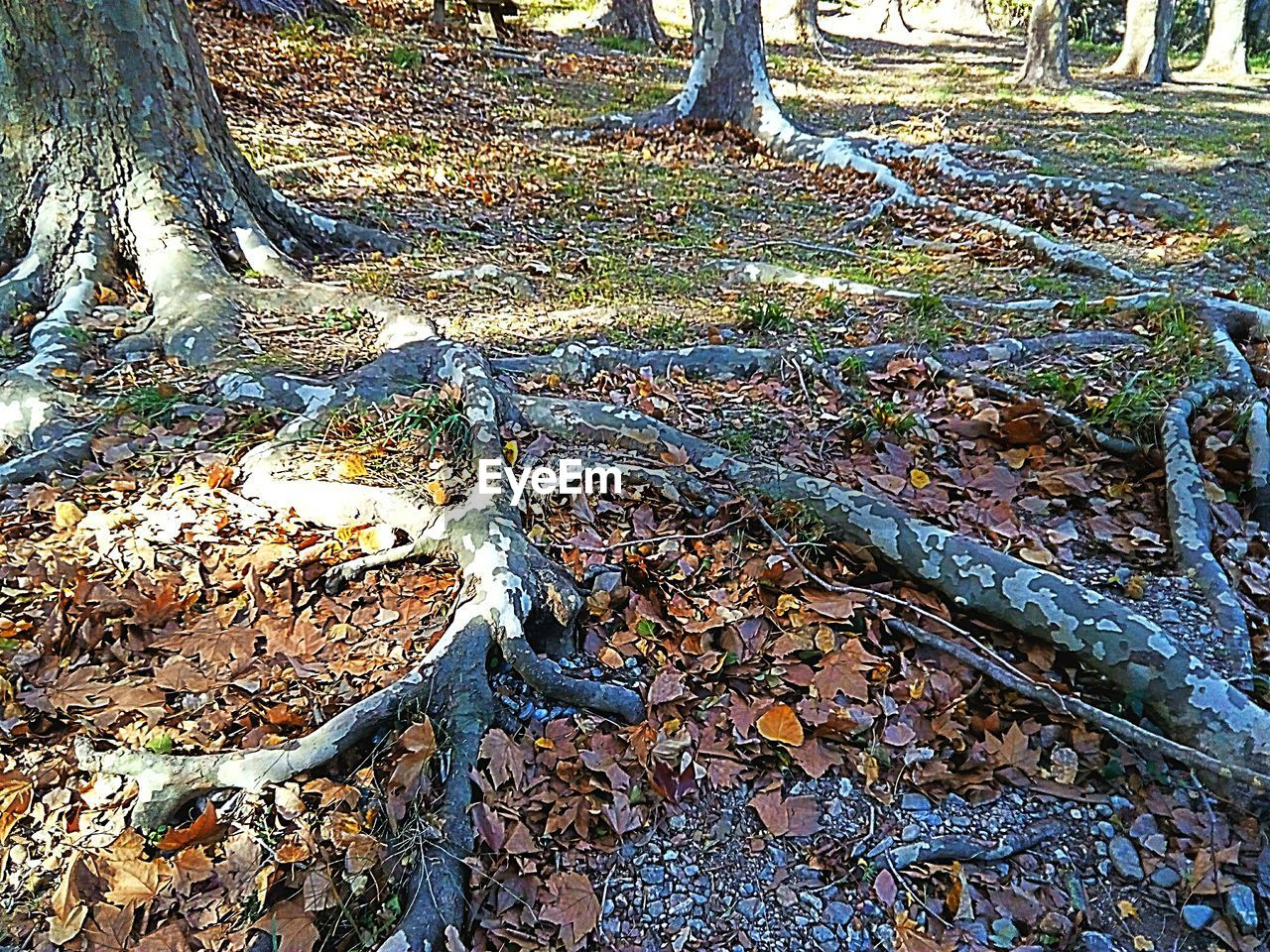tree trunk, day, forest, nature, outdoors, tree, no people, leaf, autumn, tranquility, root, growth, beauty in nature