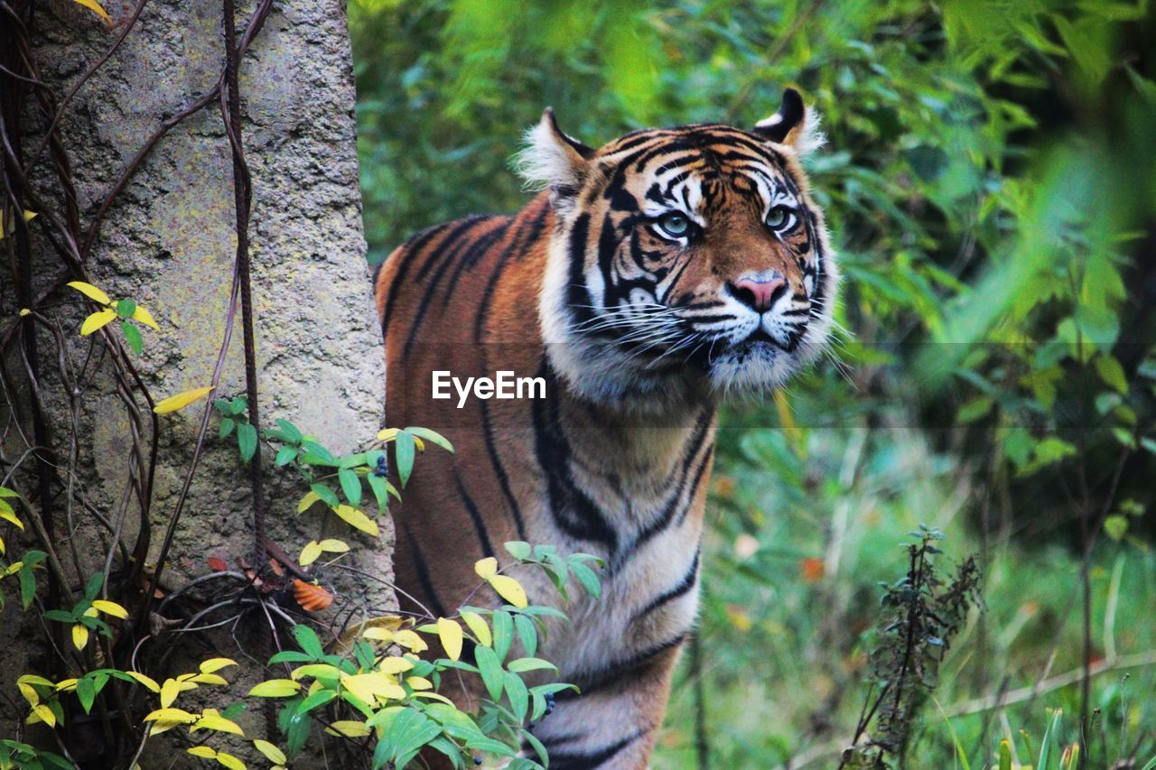 Close-Up Of Tiger In Forest