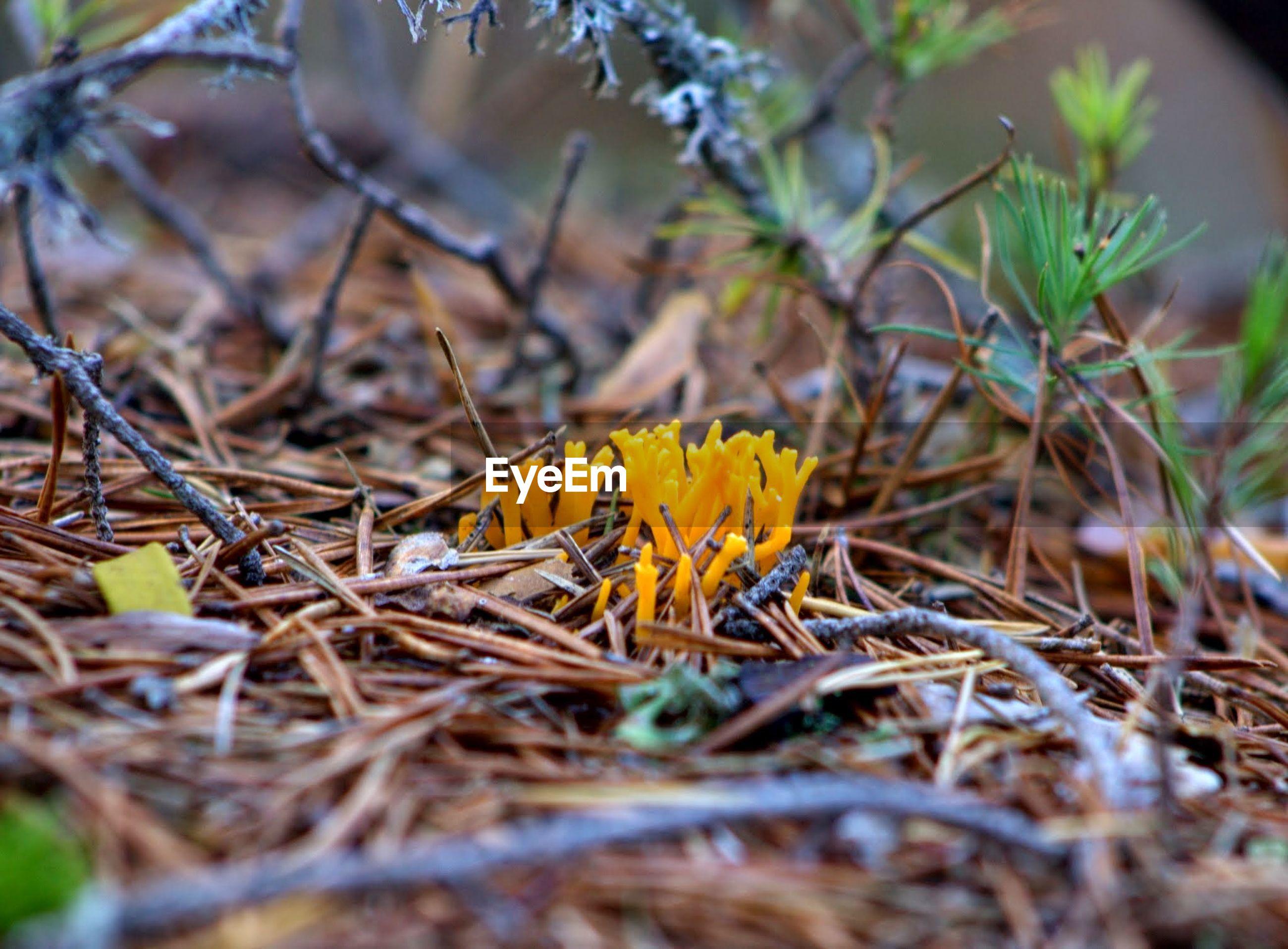 CLOSE-UP OF YELLOW CROCUS PLANT