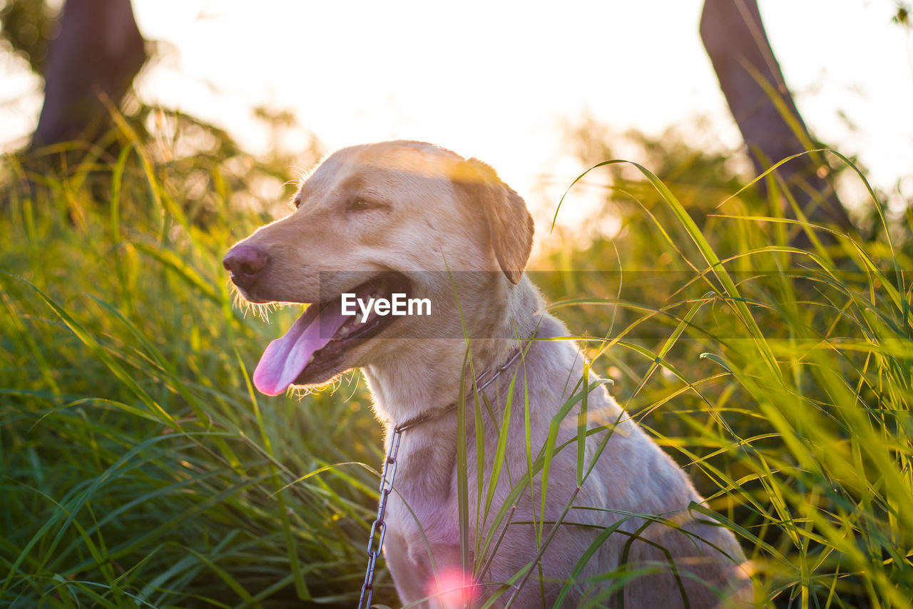 dog, canine, one animal, pets, domestic animals, domestic, animal themes, mammal, animal, grass, vertebrate, plant, field, land, facial expression, nature, looking, sticking out tongue, day, looking away, outdoors, no people, mouth open, animal tongue, panting, animal head