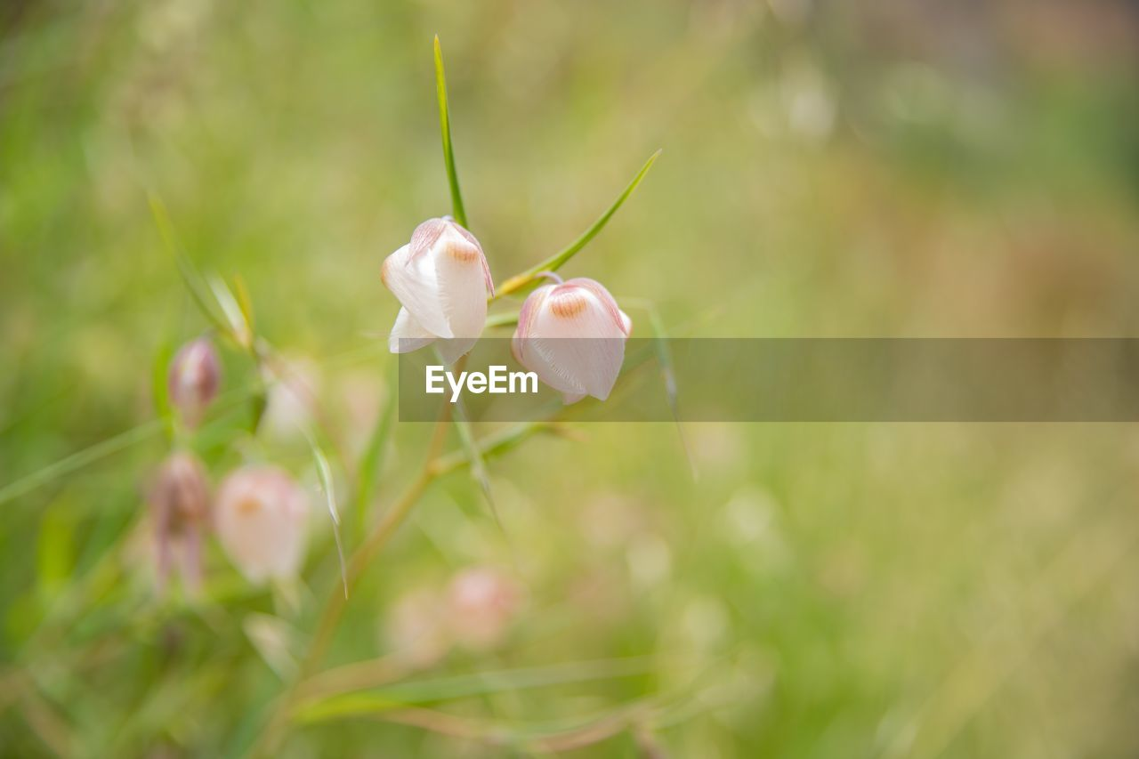 plant, flower, flowering plant, vulnerability, fragility, growth, beauty in nature, freshness, close-up, petal, flower head, selective focus, nature, white color, inflorescence, day, no people, focus on foreground, field, plant stem