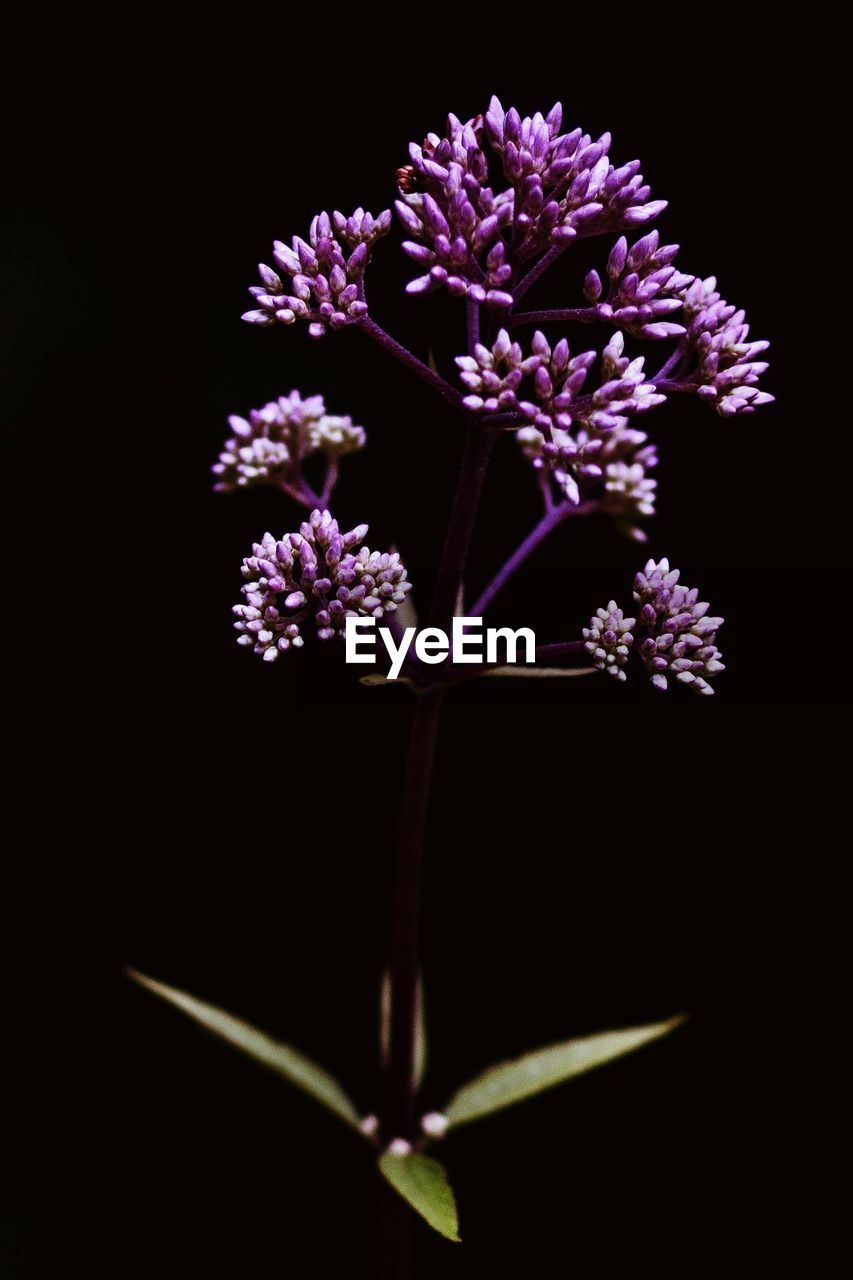 CLOSE-UP OF PURPLE FLOWERS OVER BLACK BACKGROUND