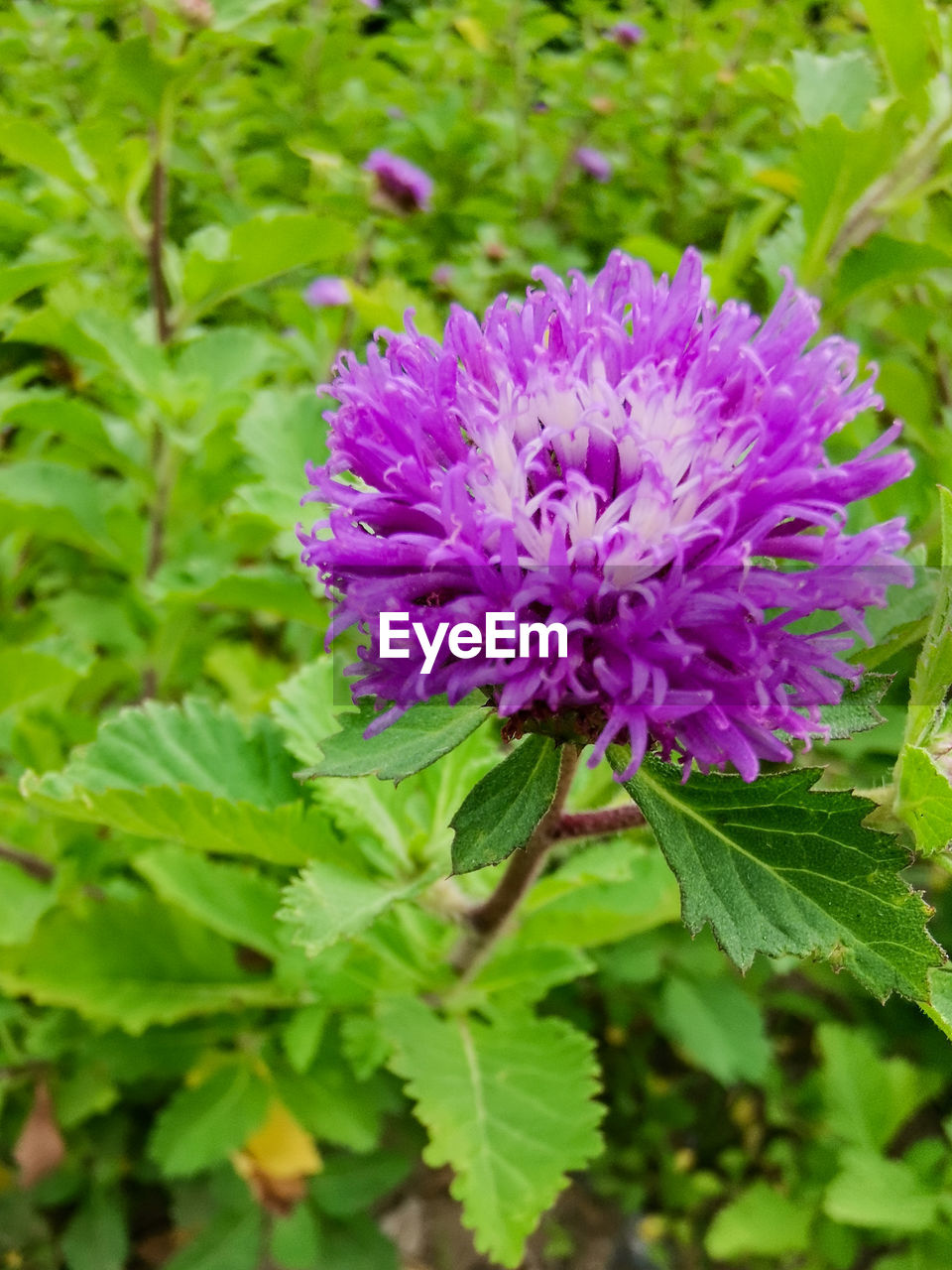 flower, flowering plant, plant, beauty in nature, freshness, vulnerability, fragility, growth, plant part, leaf, close-up, petal, inflorescence, purple, nature, flower head, green color, day, pink color, focus on foreground, no people, outdoors