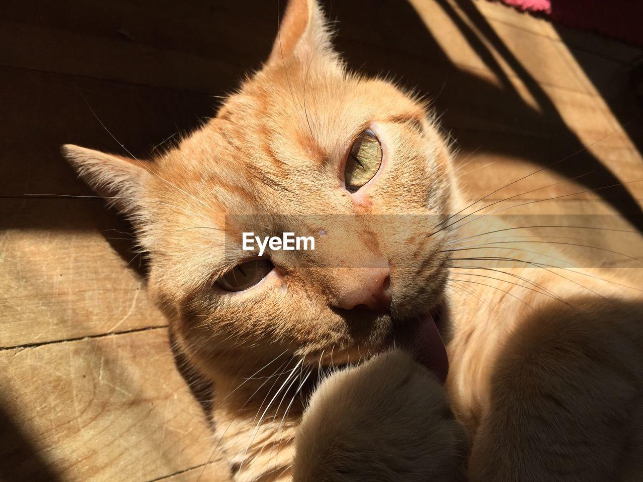 Portrait of ginger cat lying on wood