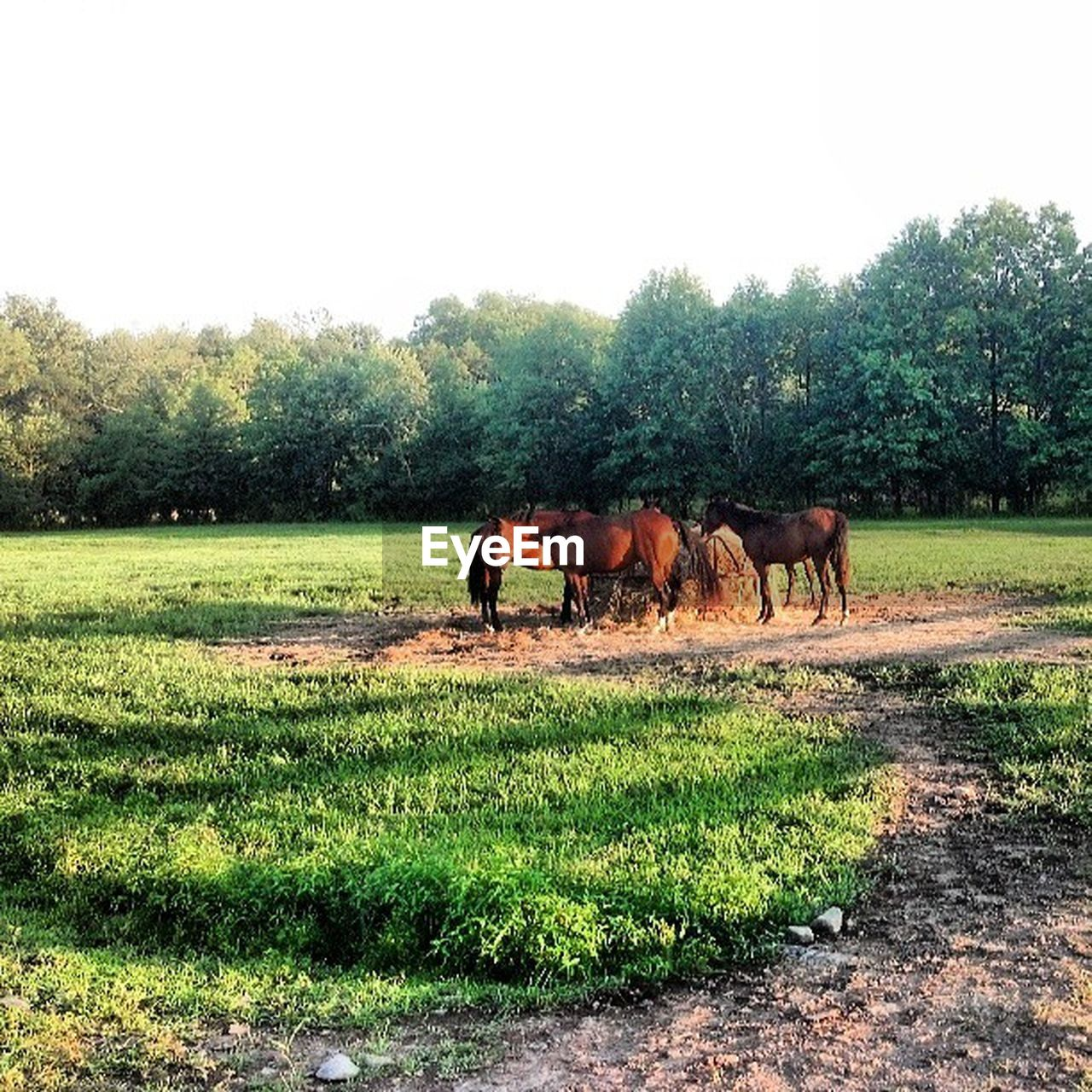 tree, field, animal themes, grass, horse, domestic animals, nature, mammal, day, livestock, outdoors, grazing, no people, landscape, growth, beauty in nature, clear sky, sky