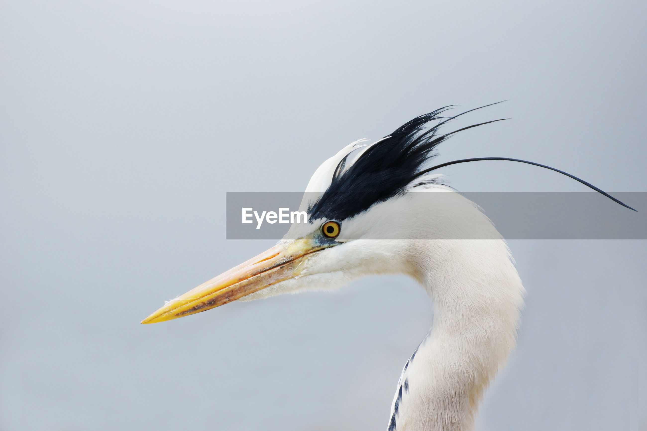 Side view of gray heron
