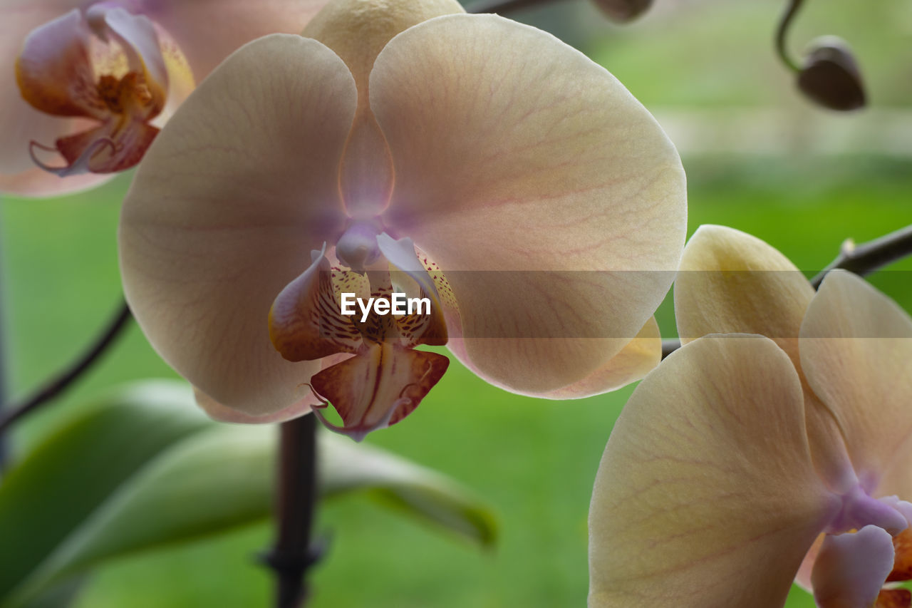 flowering plant, flower, plant, beauty in nature, vulnerability, fragility, petal, close-up, growth, freshness, inflorescence, flower head, orchid, no people, focus on foreground, selective focus, day, nature, pollen, white color, purple