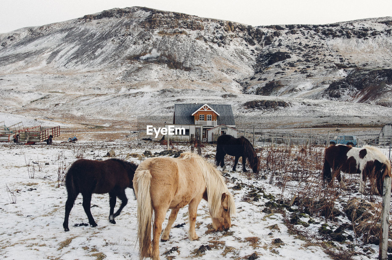 COWS STANDING ON SNOW COVERED MOUNTAIN