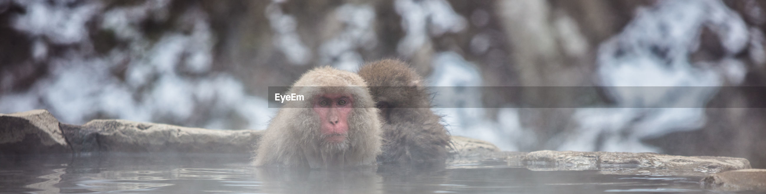 MONKEYS IN A LAKE WITH A SNOW