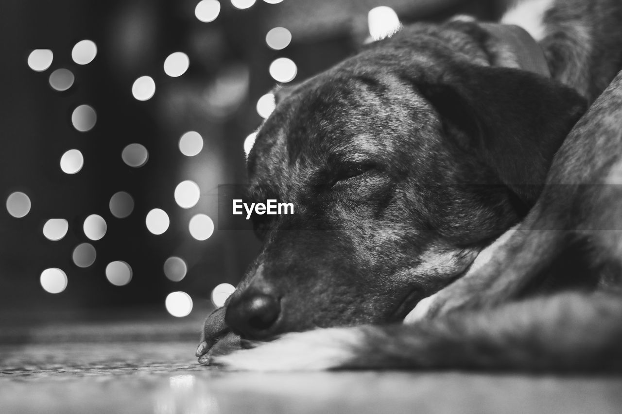 canine, dog, one animal, domestic, domestic animals, pets, mammal, animal themes, animal, indoors, relaxation, vertebrate, close-up, selective focus, no people, animal body part, illuminated, focus on foreground, resting, animal head