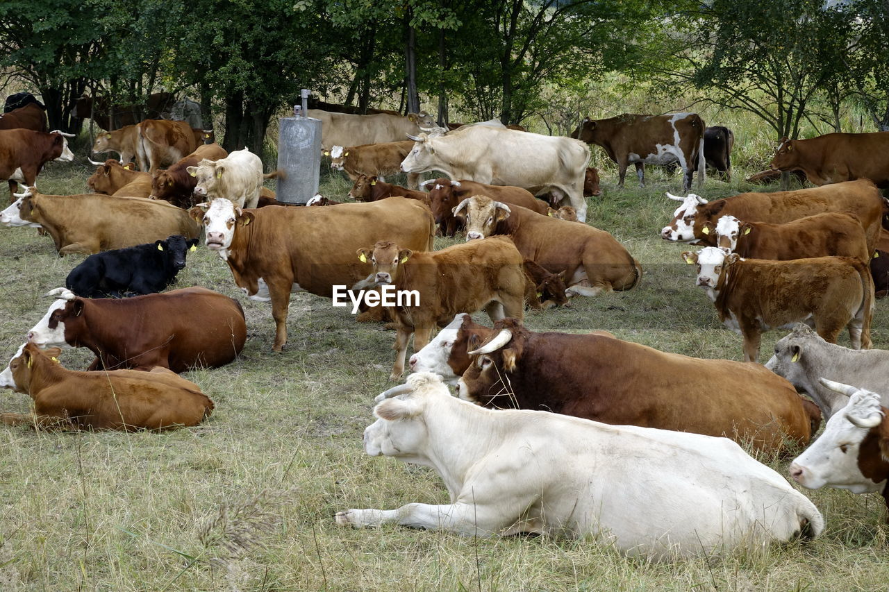 COWS ON RIVERBANK