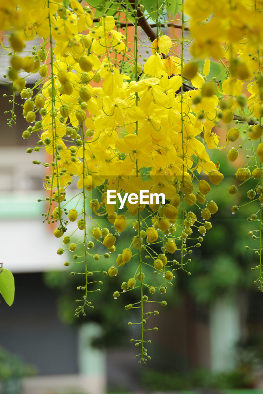 Beauty In Nature Close-up Day Flower Focus On Foreground Fragility Freshness Growth Hanging Nature No People Outdoors Plant Tree Yellow