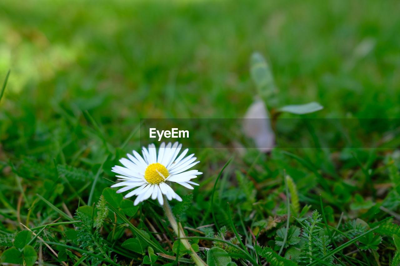 WHITE DAISY FLOWER ON FIELD