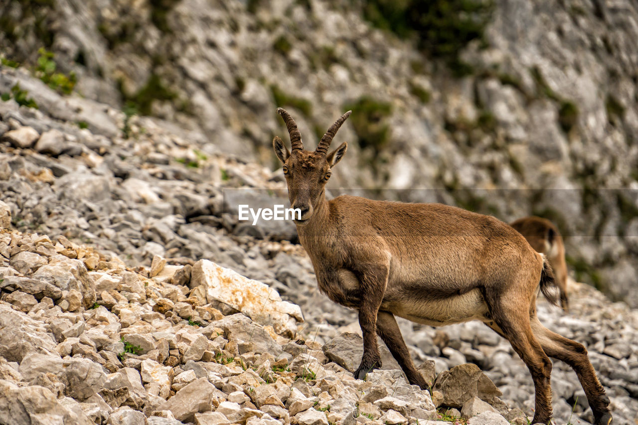 animal themes, animal, animal wildlife, mammal, animals in the wild, one animal, rock, solid, rock - object, deer, day, nature, no people, land, vertebrate, focus on foreground, outdoors, domestic animals, selective focus, brown, herbivorous