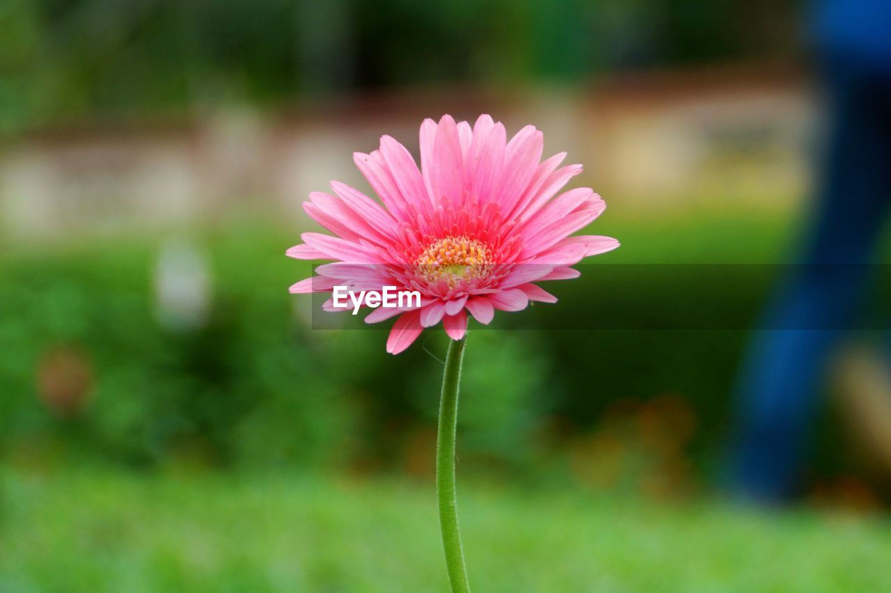 flowering plant, flower, fragility, freshness, vulnerability, beauty in nature, plant, pink color, inflorescence, petal, flower head, growth, close-up, focus on foreground, plant stem, nature, day, no people, pollen, sepal