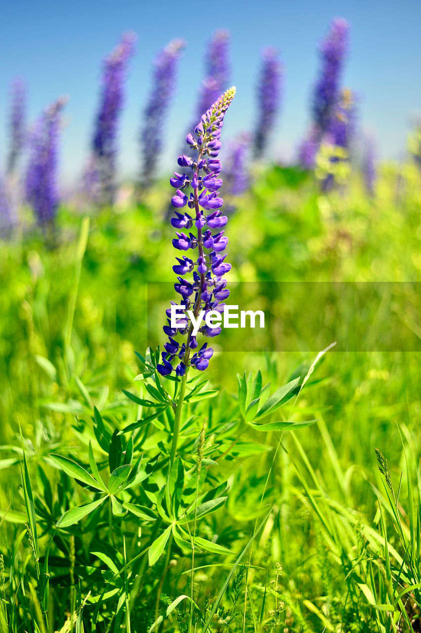 nature, beauty in nature, purple, growth, grass, green color, field, plant, flower, no people, outdoors, fragility, day, close-up, freshness