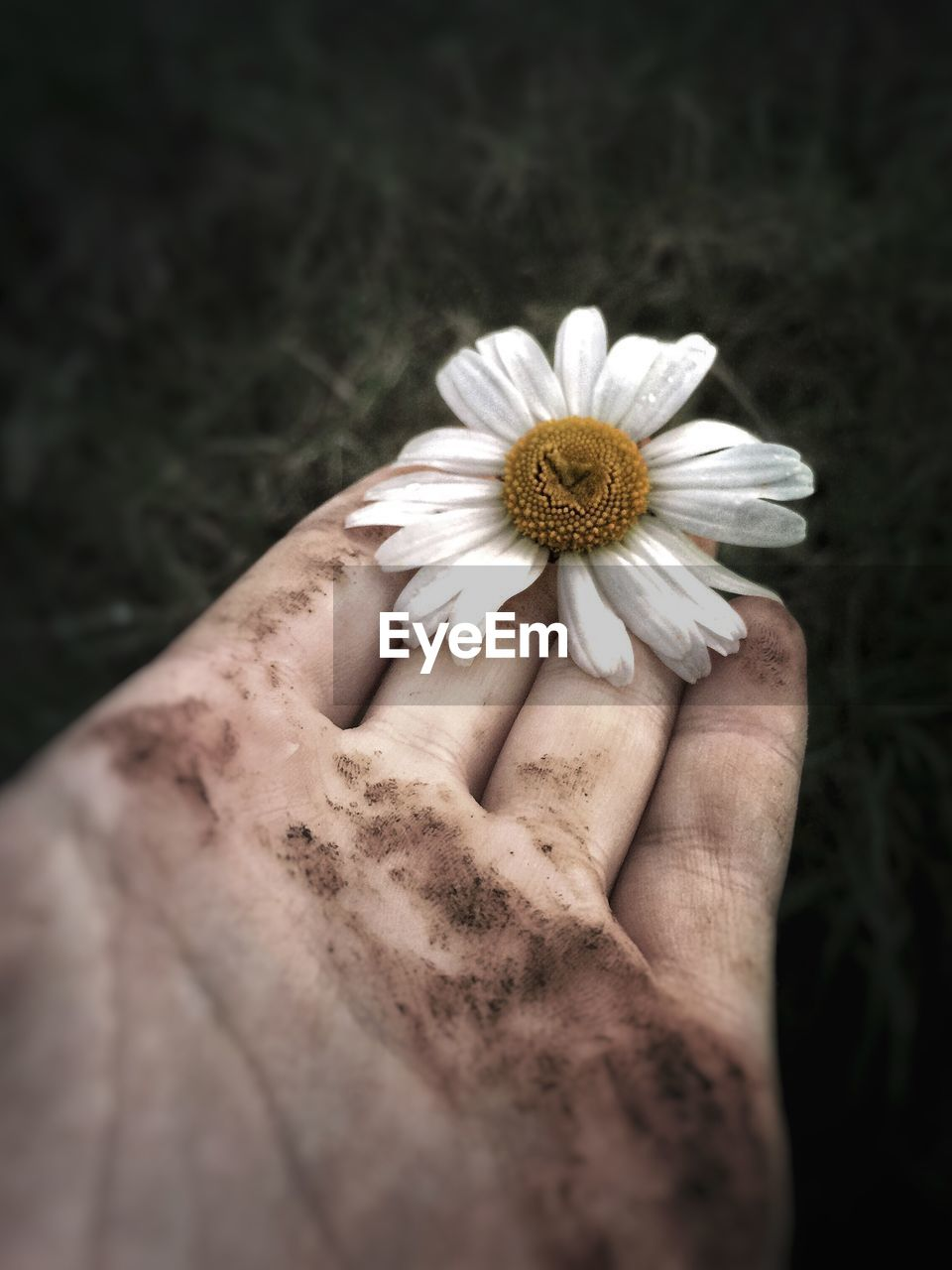 hand, human hand, human body part, flower, flowering plant, one person, plant, freshness, vulnerability, close-up, fragility, holding, real people, body part, unrecognizable person, lifestyles, beauty in nature, inflorescence, petal, pollen, flower head, finger, human limb