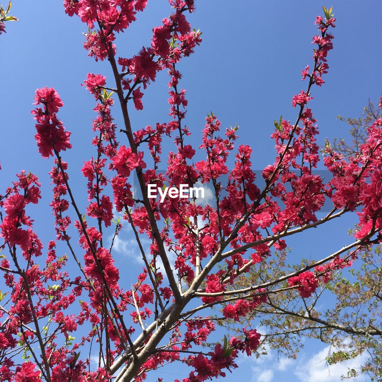 tree, plant, low angle view, growth, sky, branch, beauty in nature, flowering plant, flower, pink color, day, fragility, nature, no people, blossom, clear sky, red, vulnerability, springtime, outdoors, cherry blossom, spring, cherry tree