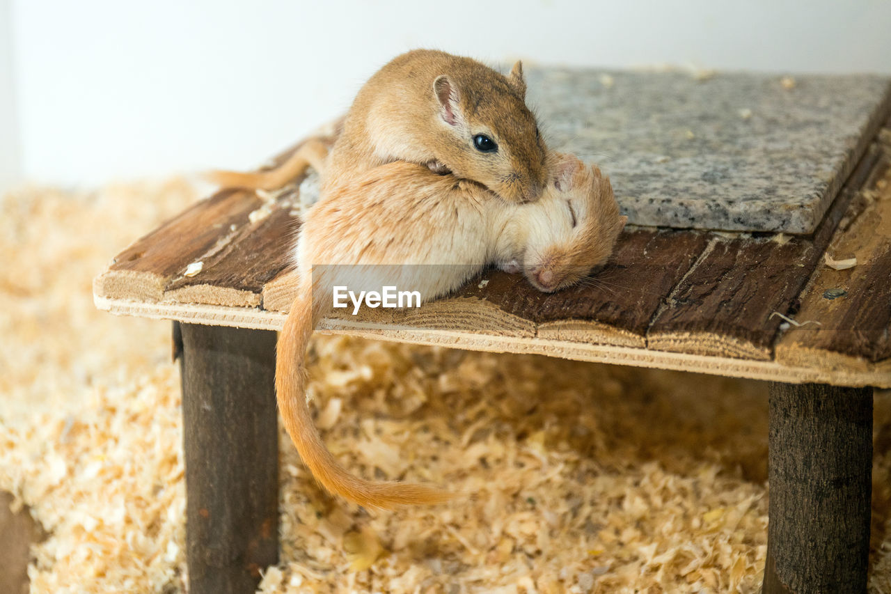 High angle view of gerbils on wood at home