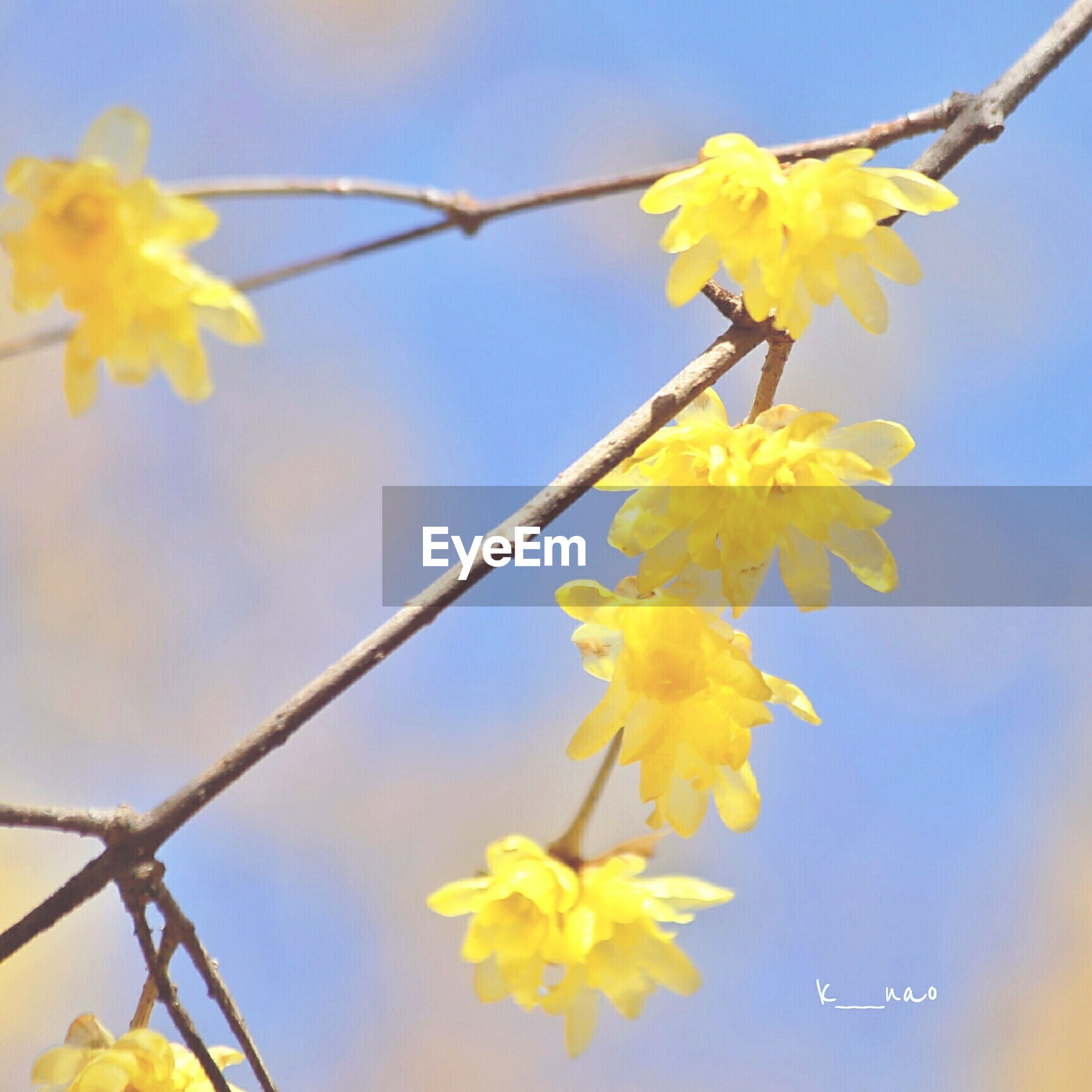 flower, yellow, freshness, fragility, growth, low angle view, beauty in nature, petal, nature, blooming, branch, sky, close-up, focus on foreground, in bloom, stem, flower head, plant, clear sky, blue